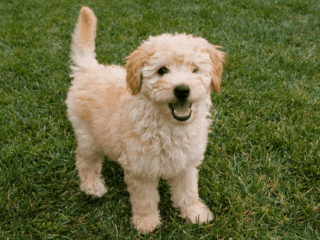 Cute Goldendoodle puppy is very alert.