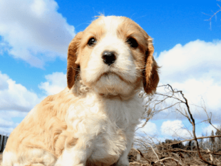 Cavapoo puppy sits outside with a cloudy blue sky
