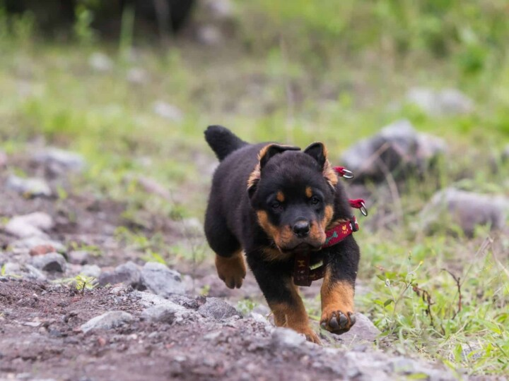 Rottweiler puppy who endured the widely banned tail docking procedure.