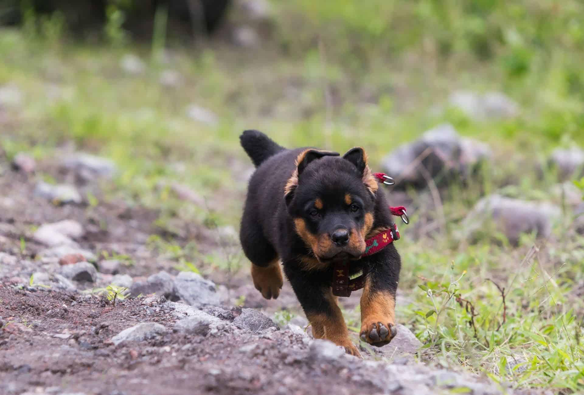 Rottweiler puppy recall