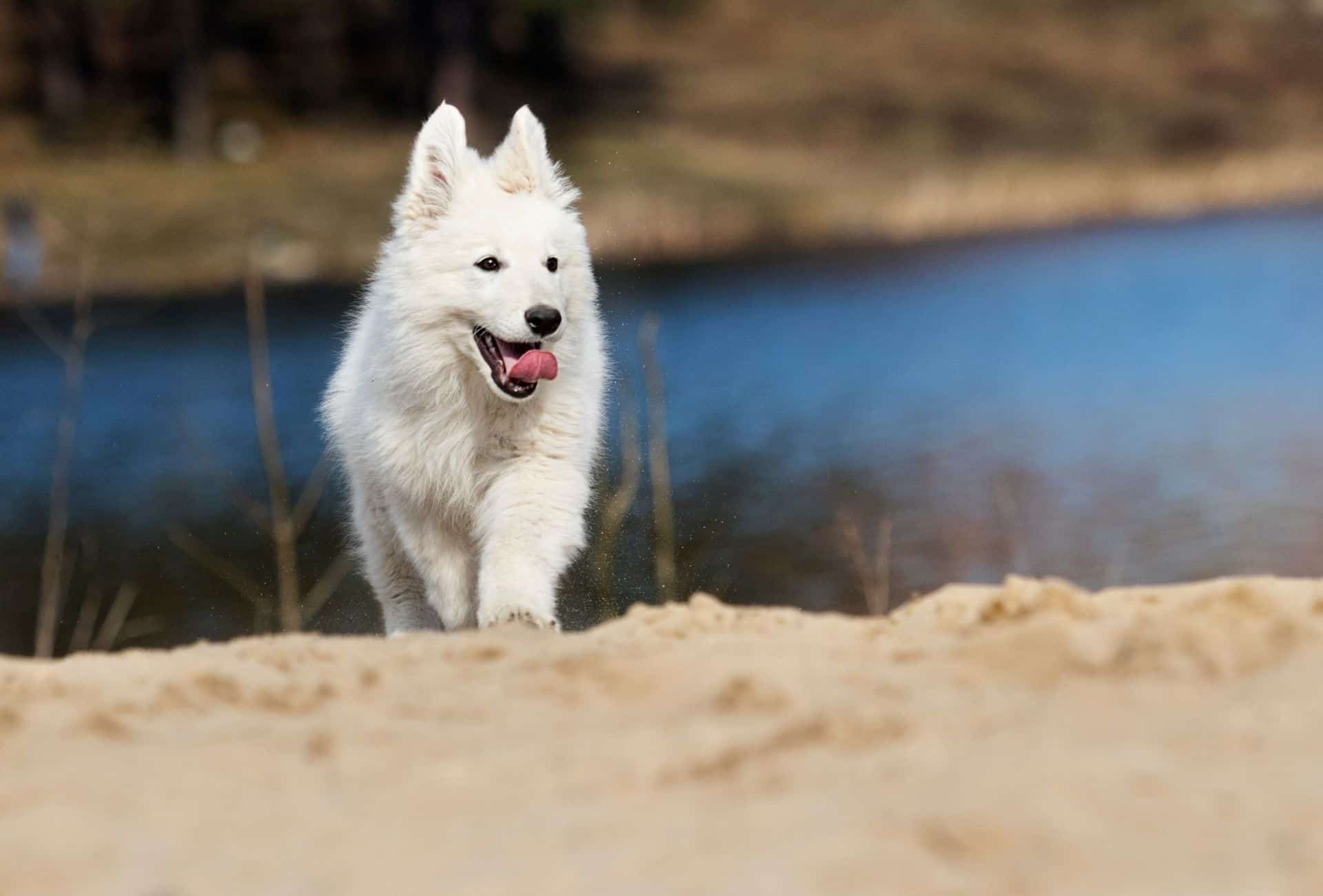 Samoyede puppy recall