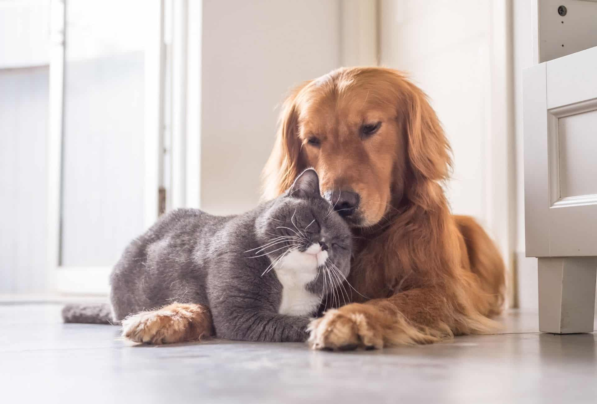 Cat cuddles with dog