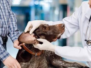 dog ear examination