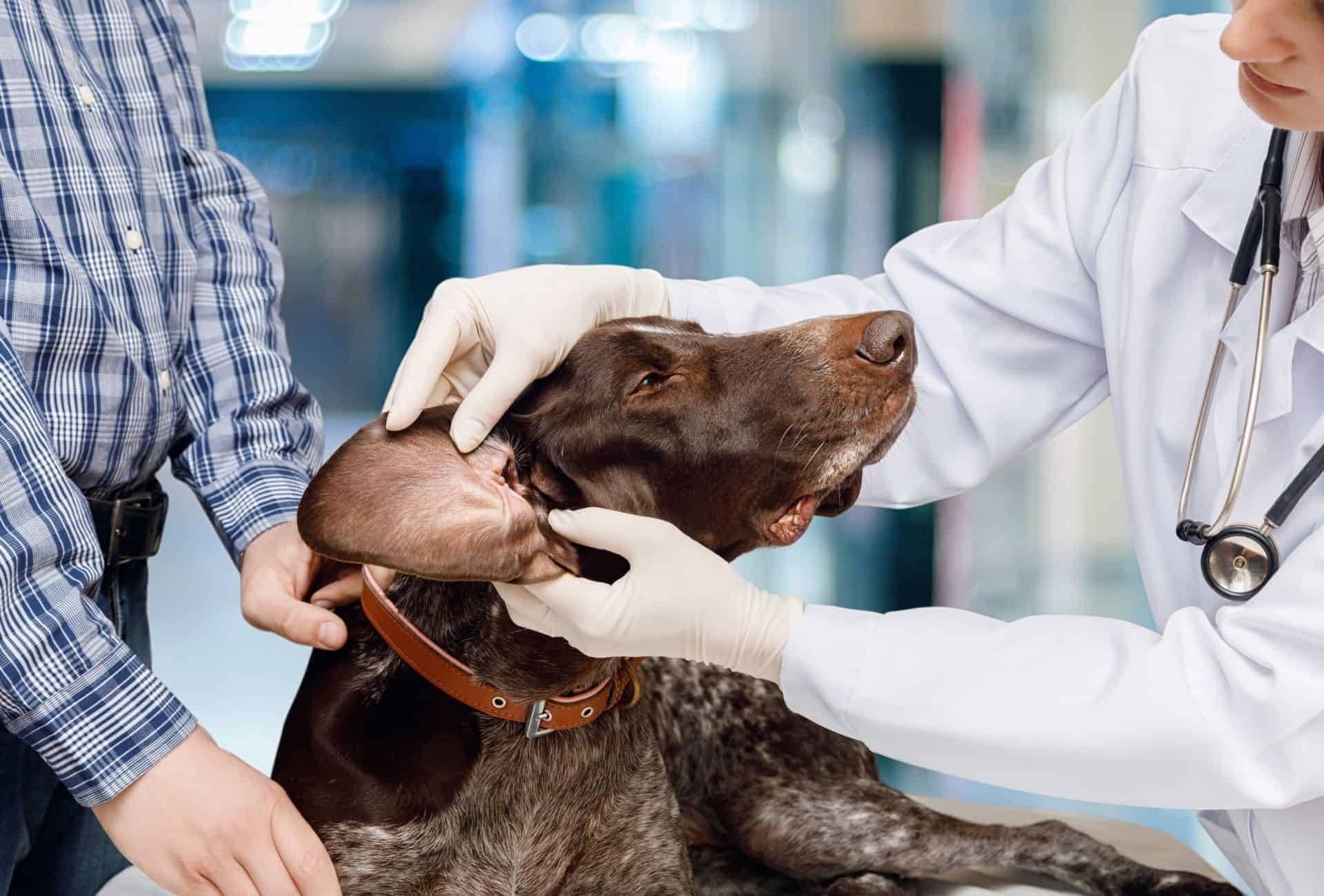Ear infections or injuries can cause dogs to walk in circles and be disoriented.