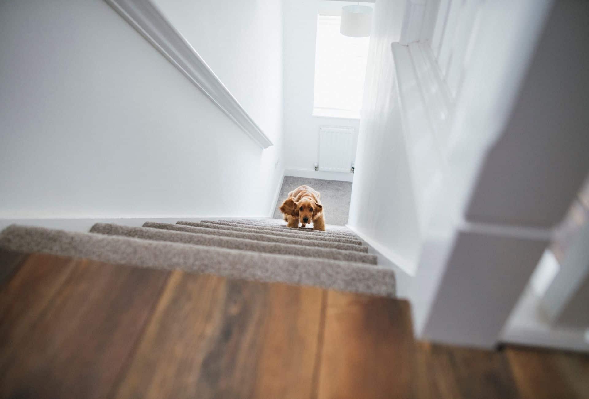 Dog climbing up stairs