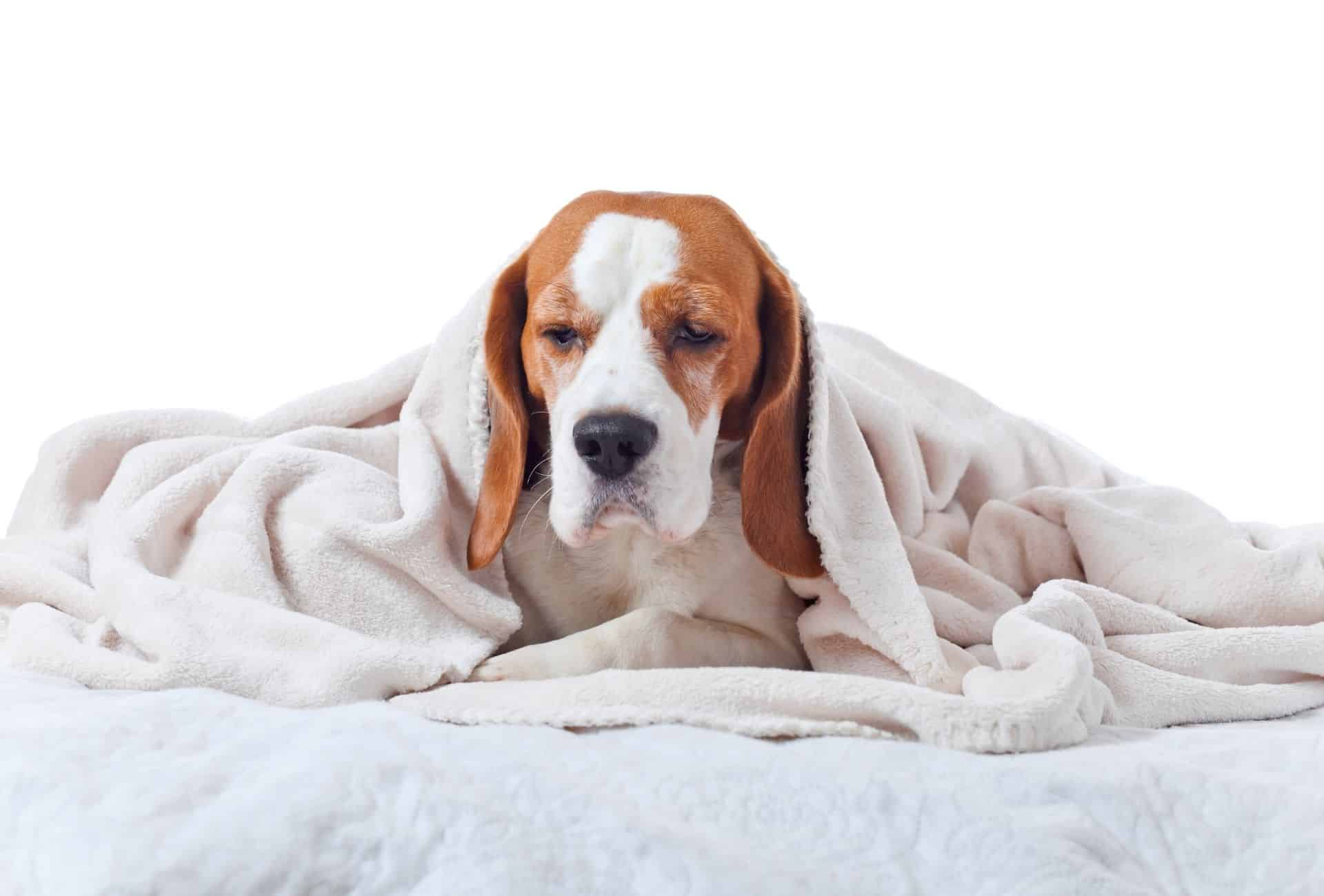 dog snuggled in bedsheets