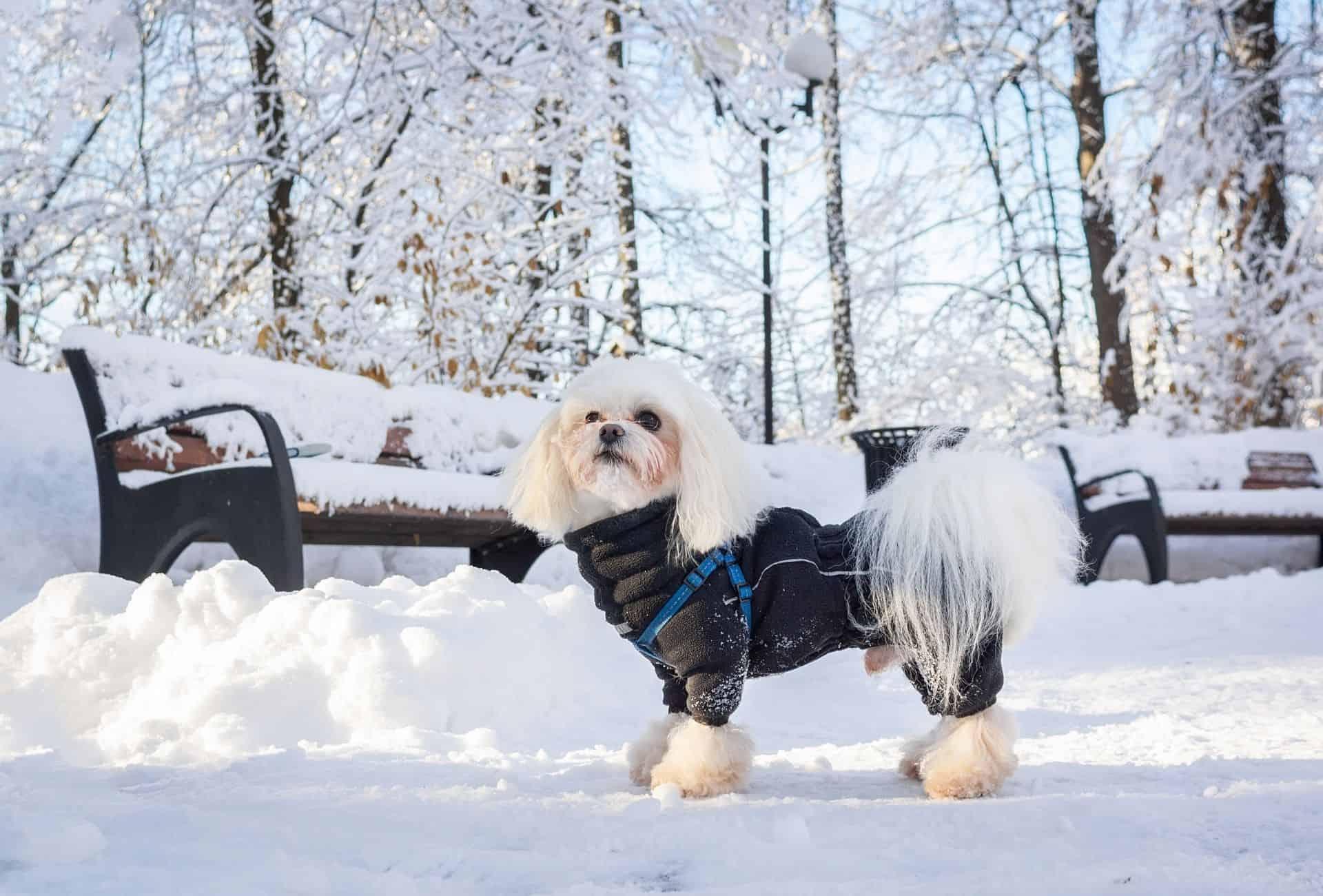 small dog in wintercoat