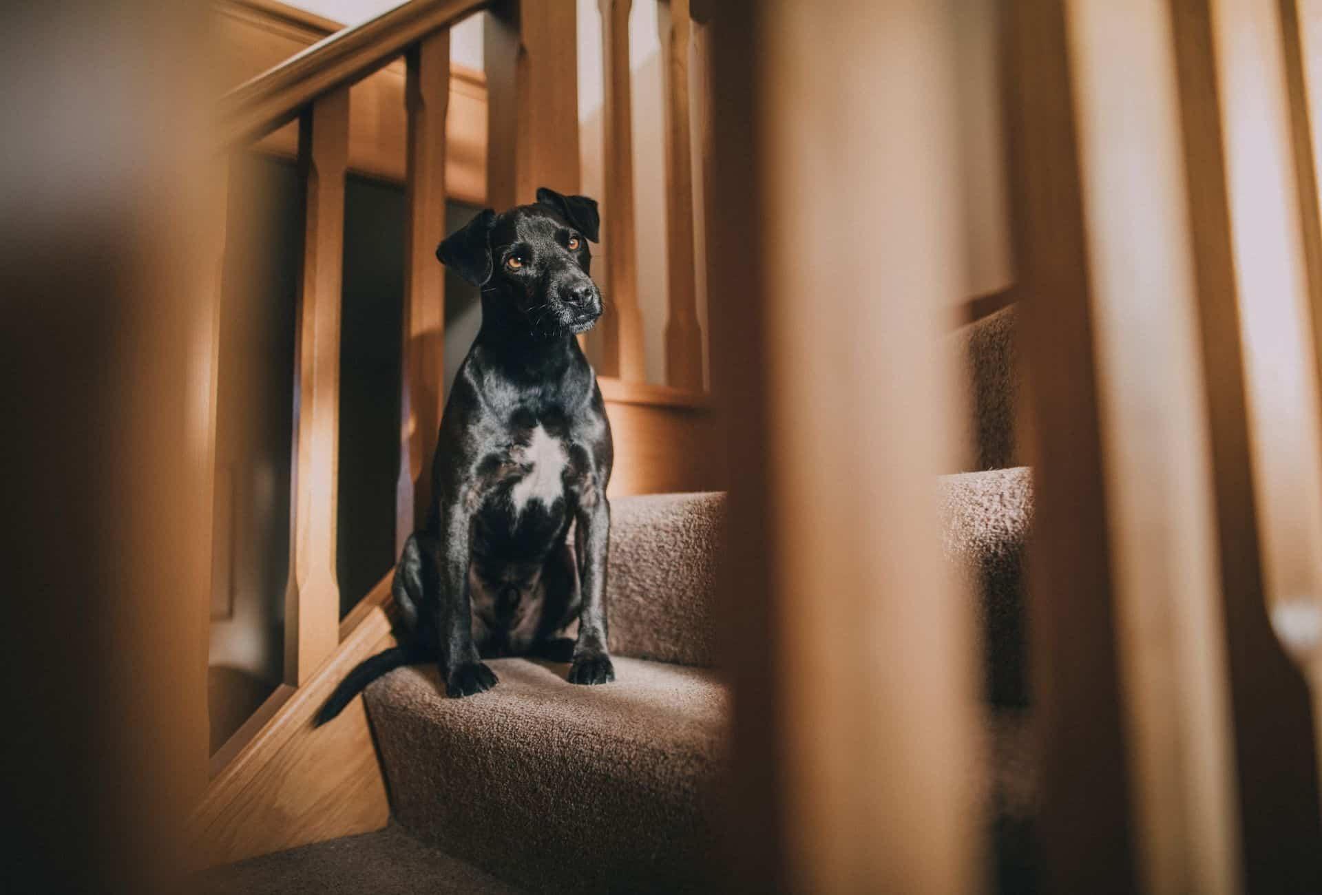 Black dog on carpet stairs