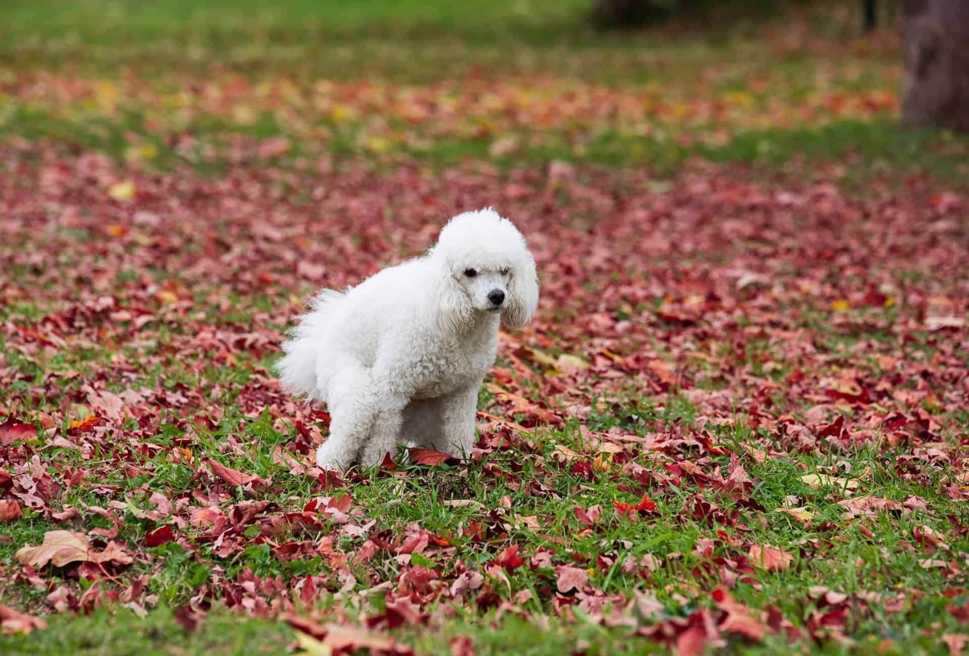 Poodle pooping on grass