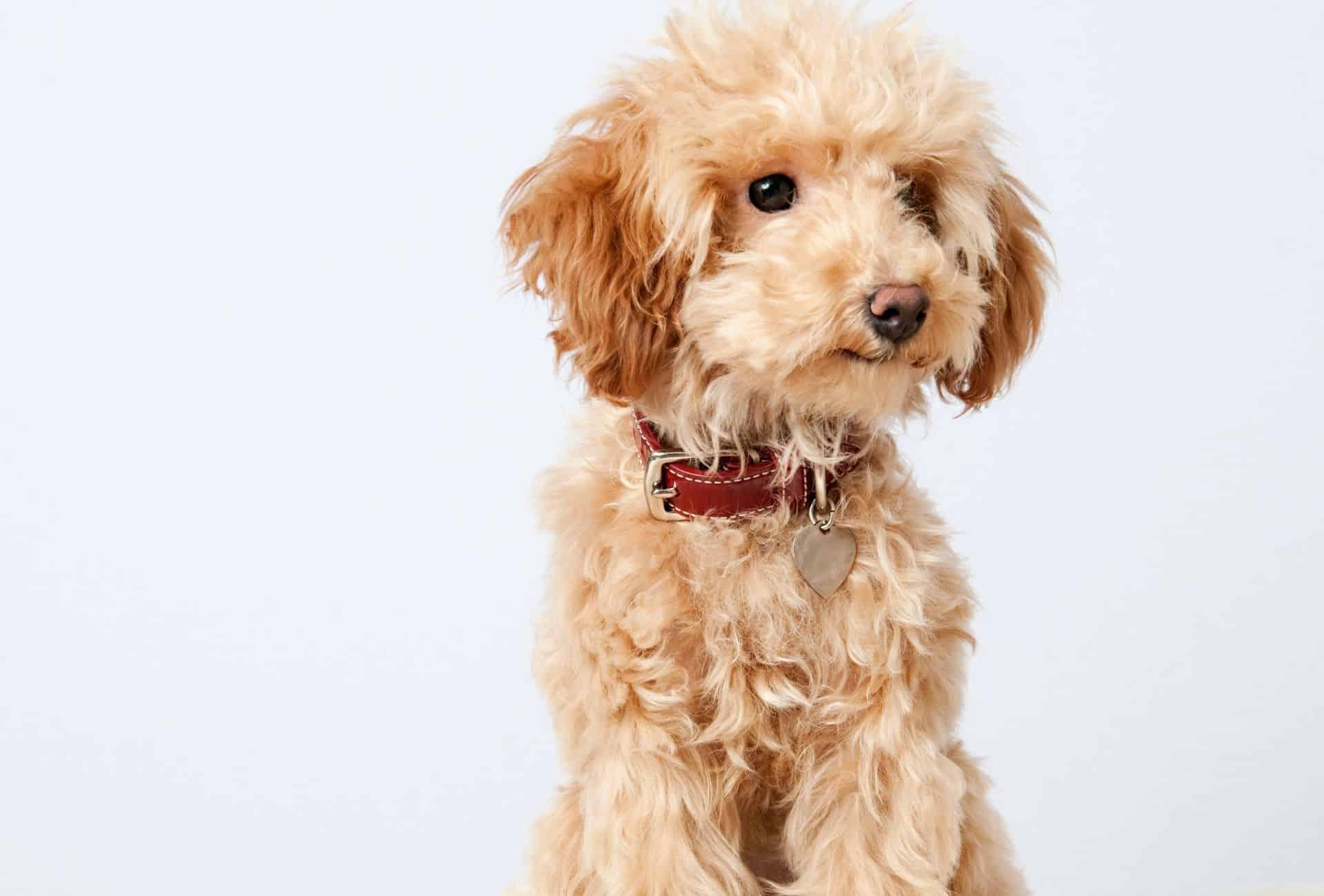 Hypoallergenic poodle