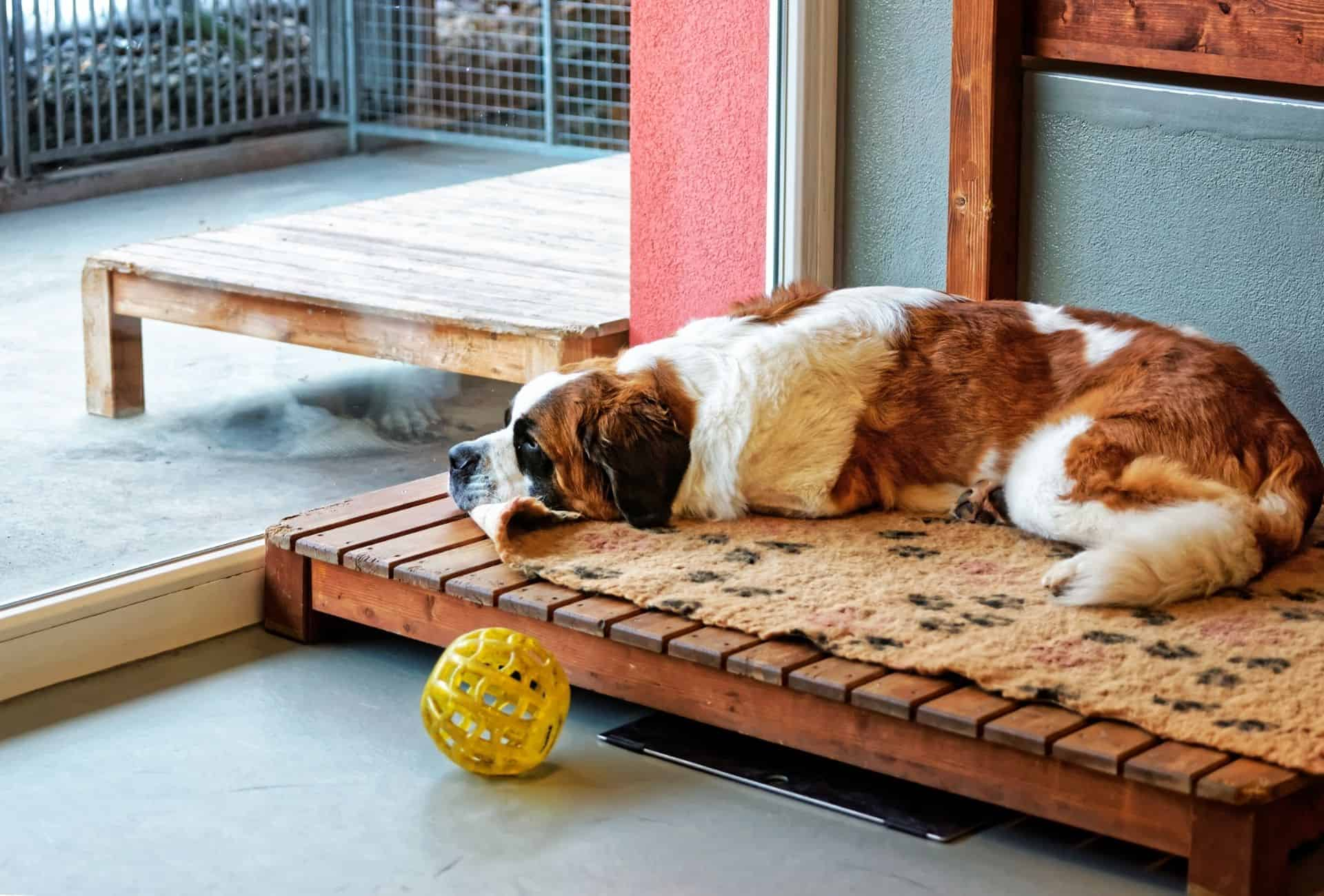 Saint Bernard laying down in a boarding kennel and looking out the window.