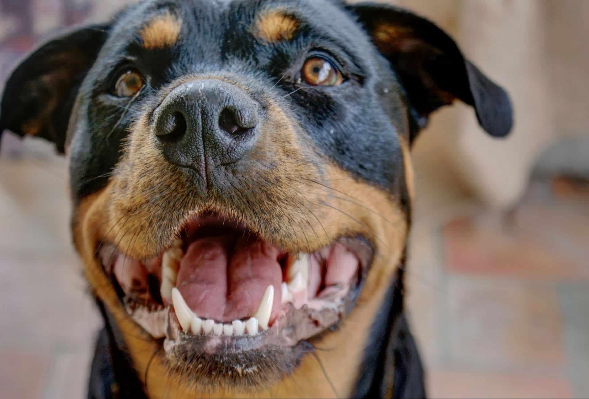 Pitbull Rottweiler mix head