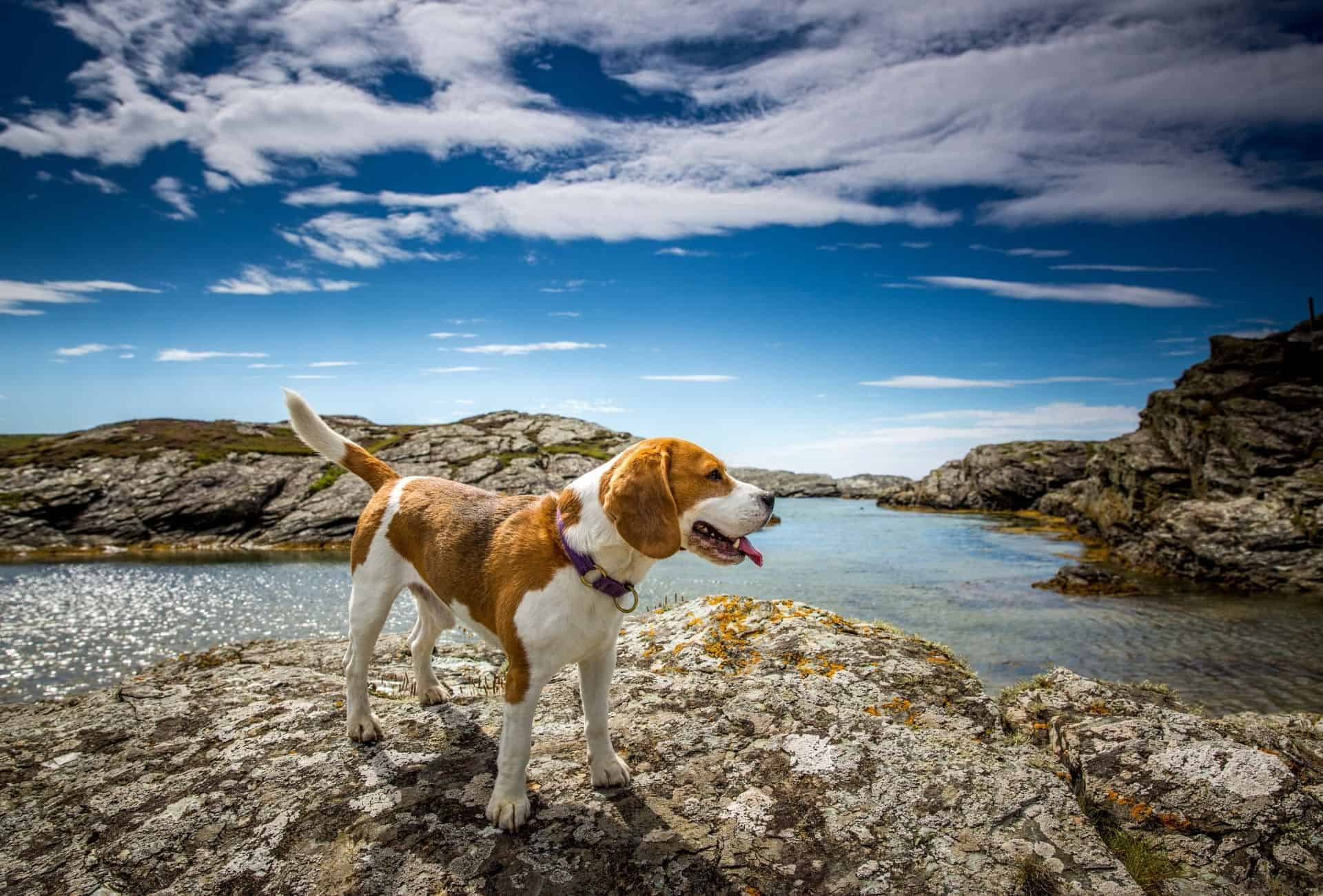Adult Beagle stands on to of a mountain.