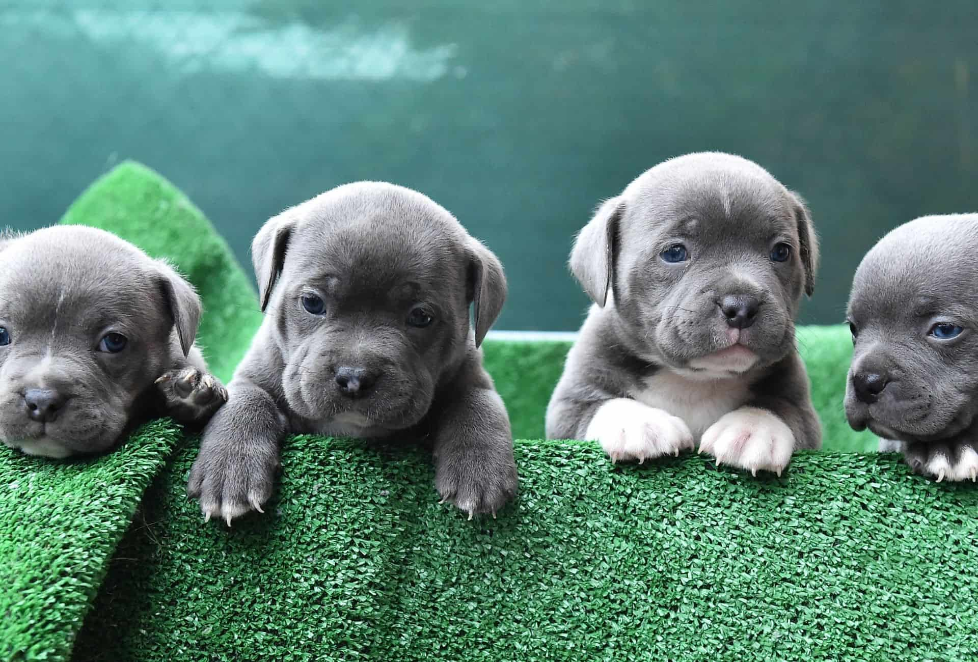 Four American Bully puppies with gray and white coats and blue puppy eyes.