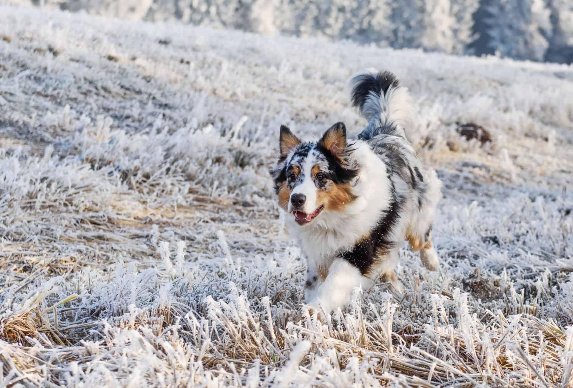 Merle Australian Shepherd running on snowy ground.