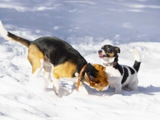 Beagle is playfully biting the Jack Russel Terrier's leg in the snow.