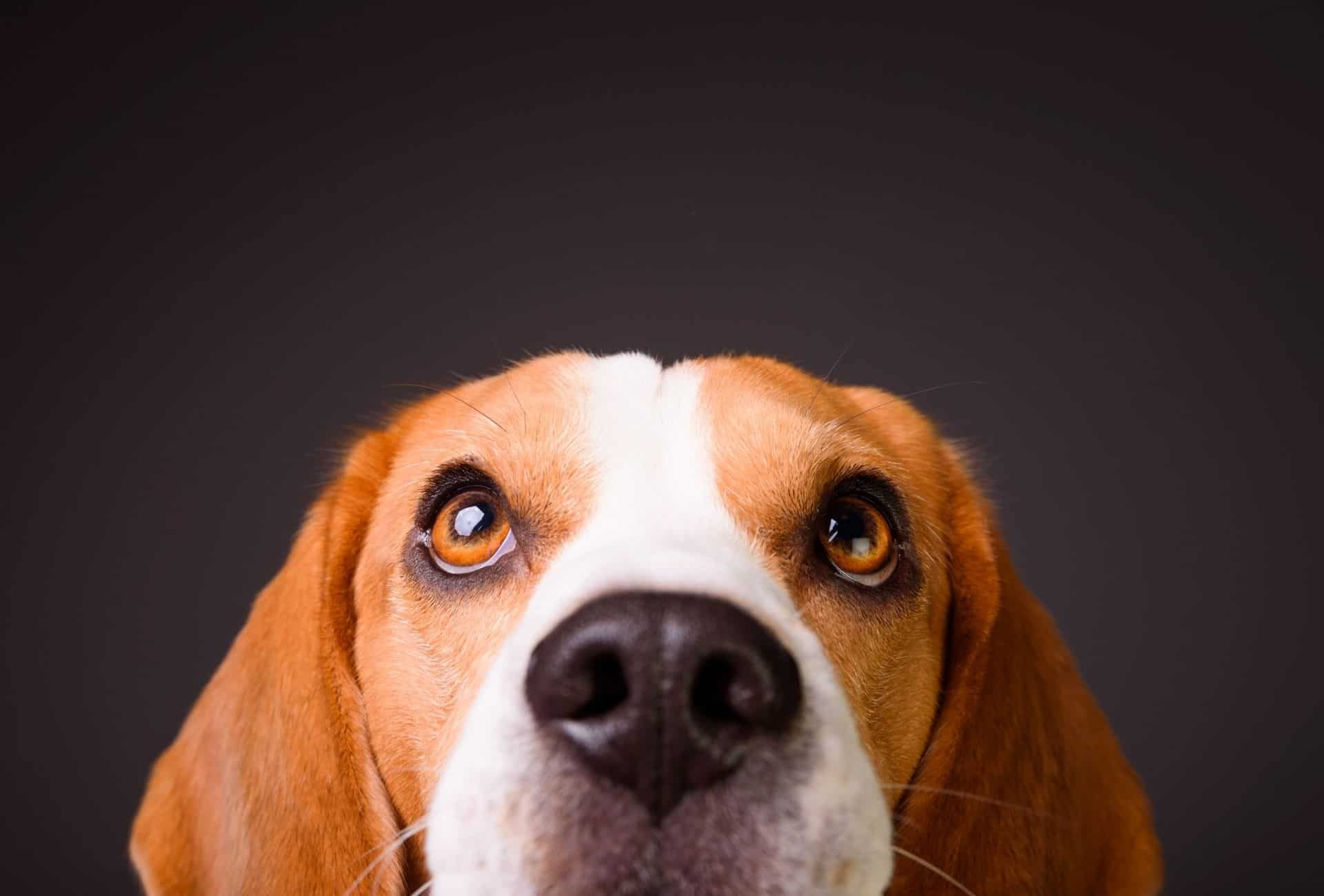 Beagle head with shining brown eyes in front of black background.