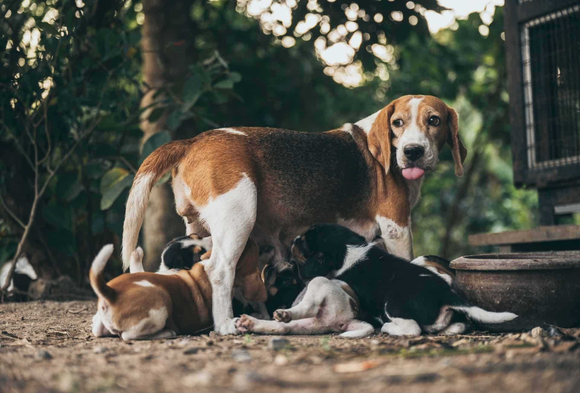 Female Beagle is outside nursing her little puppies.
