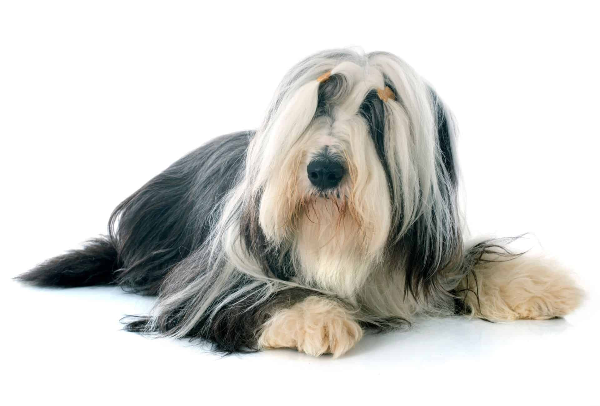 Bearded Collie laying down in front of white background.