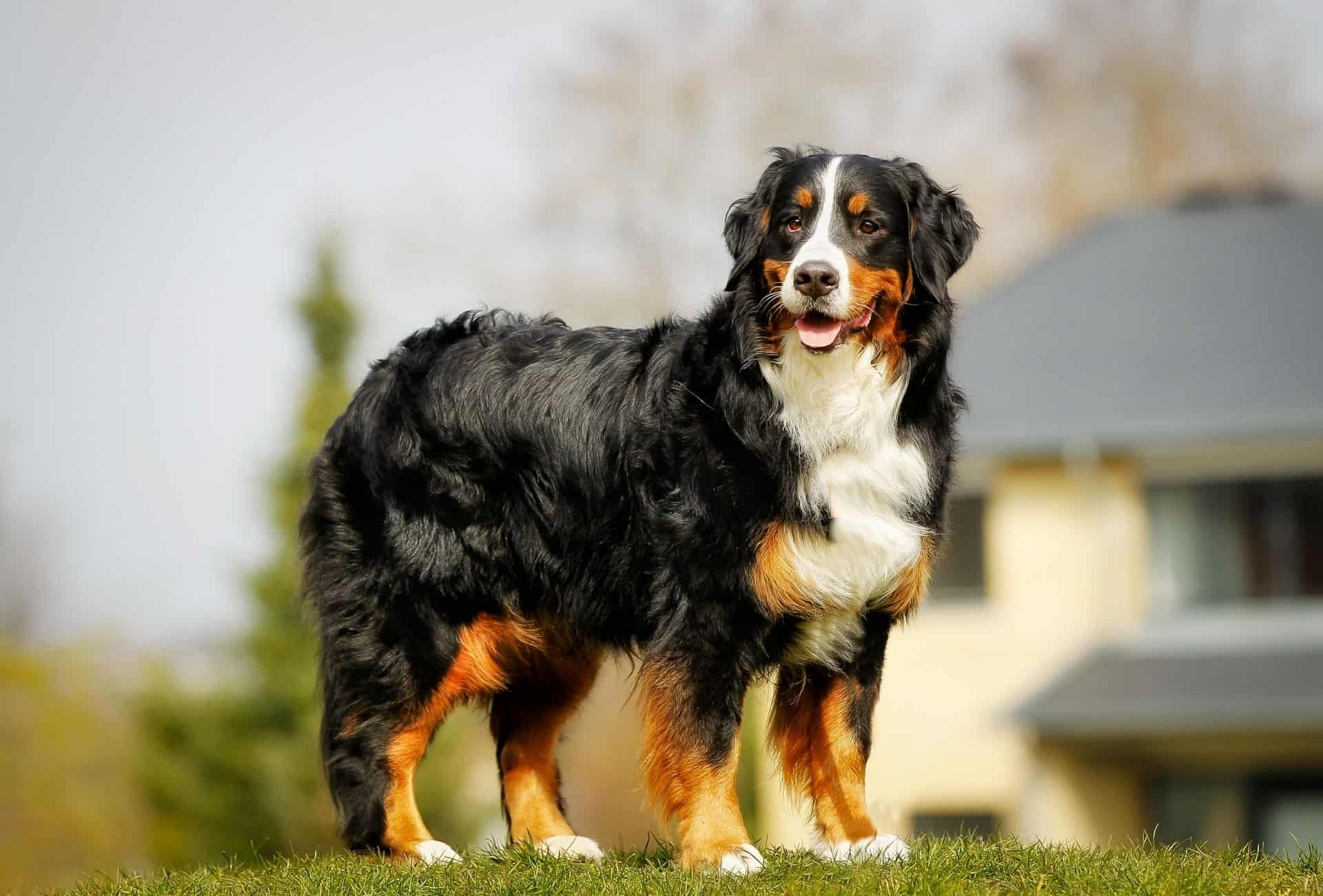 Curly Bernese Mountain Dog.