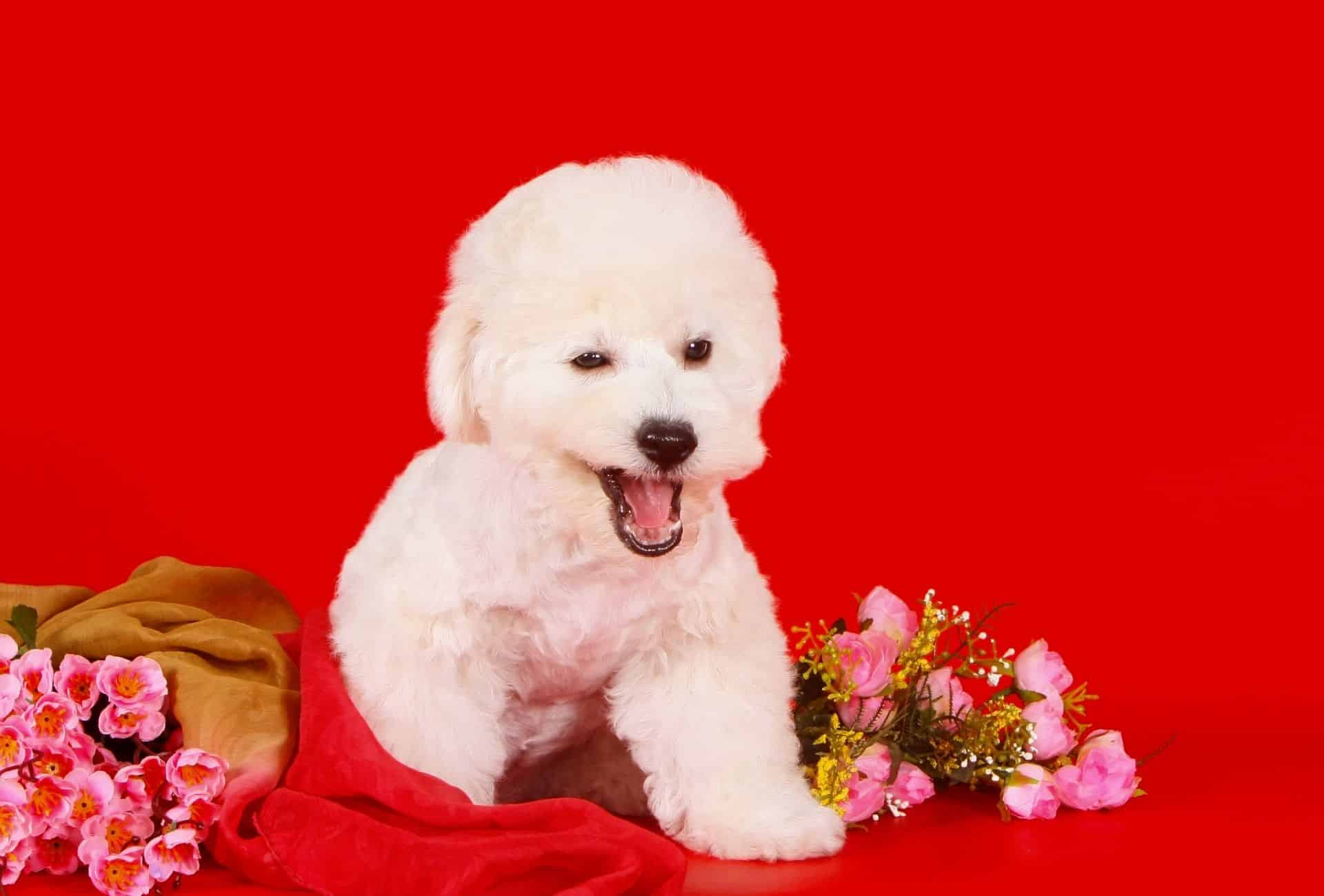Bichon Frise with a round haircut in front of a red background and flowers.