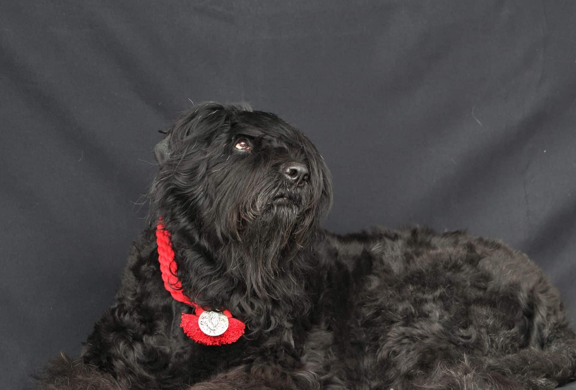 Black Russian Terrier with a medal around the neck.