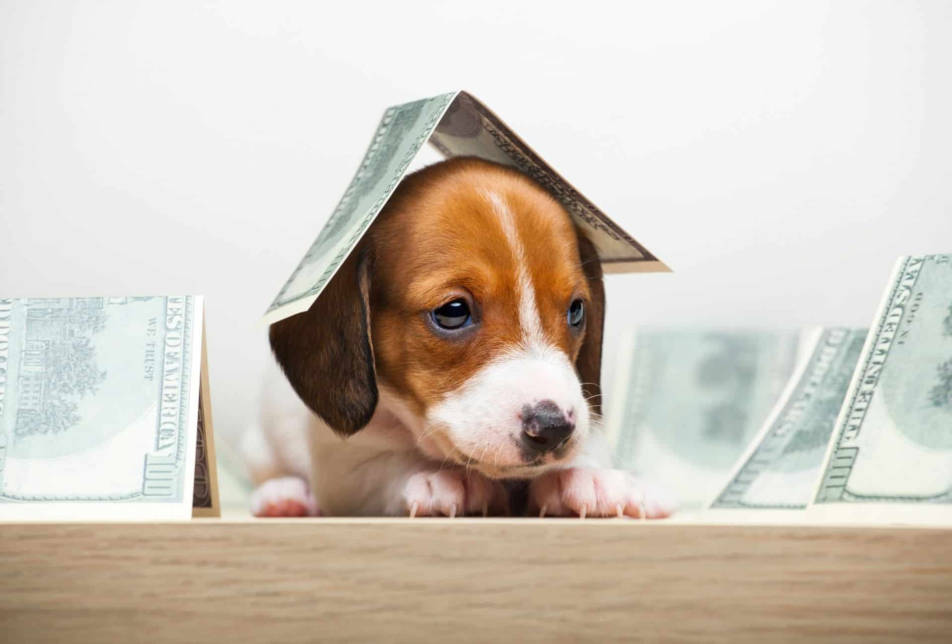 Puppy symbolically stands under a dollar bill, a lot of work is required to make money as a breeder.