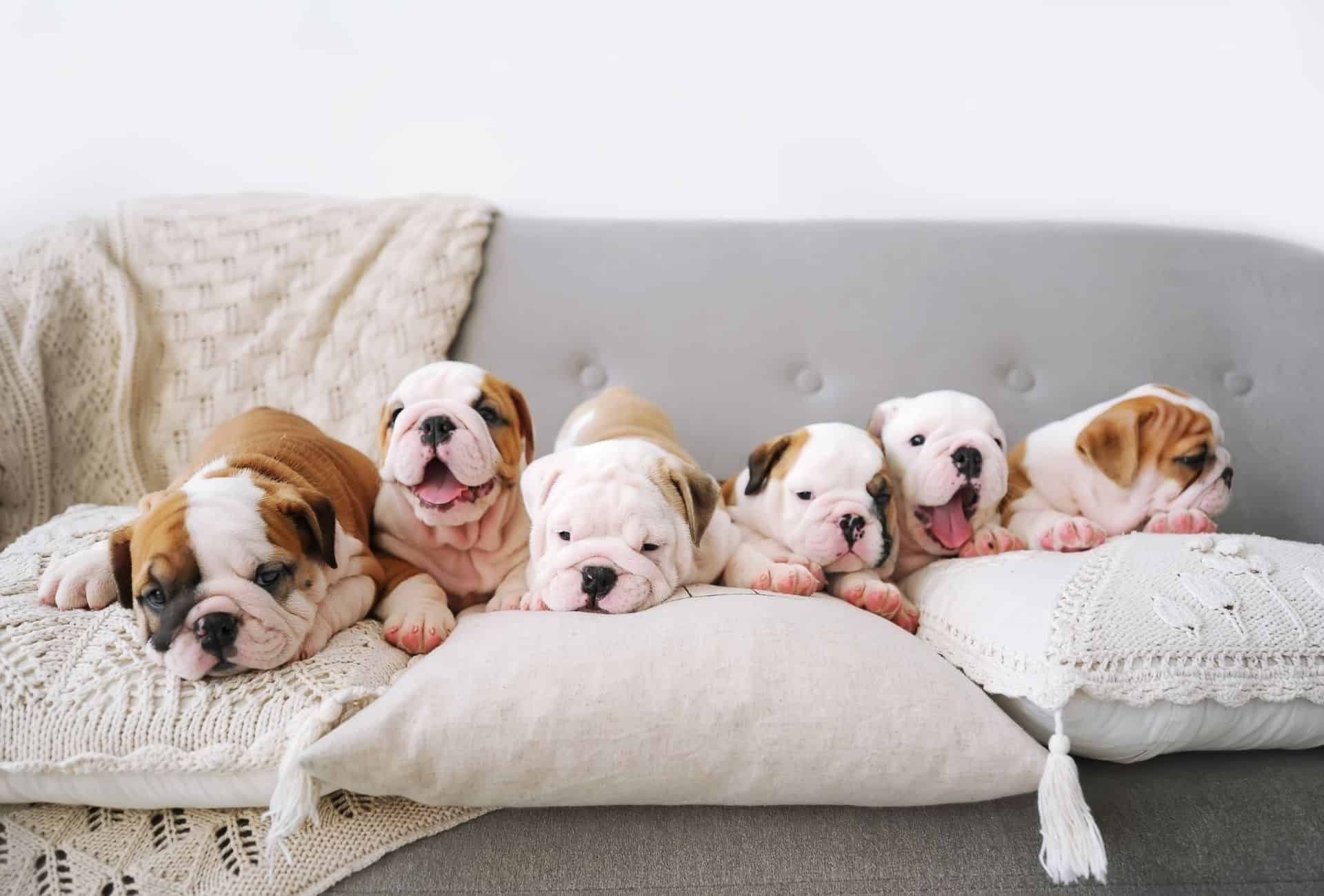 Six white and brown Bulldog puppies together on the couch.