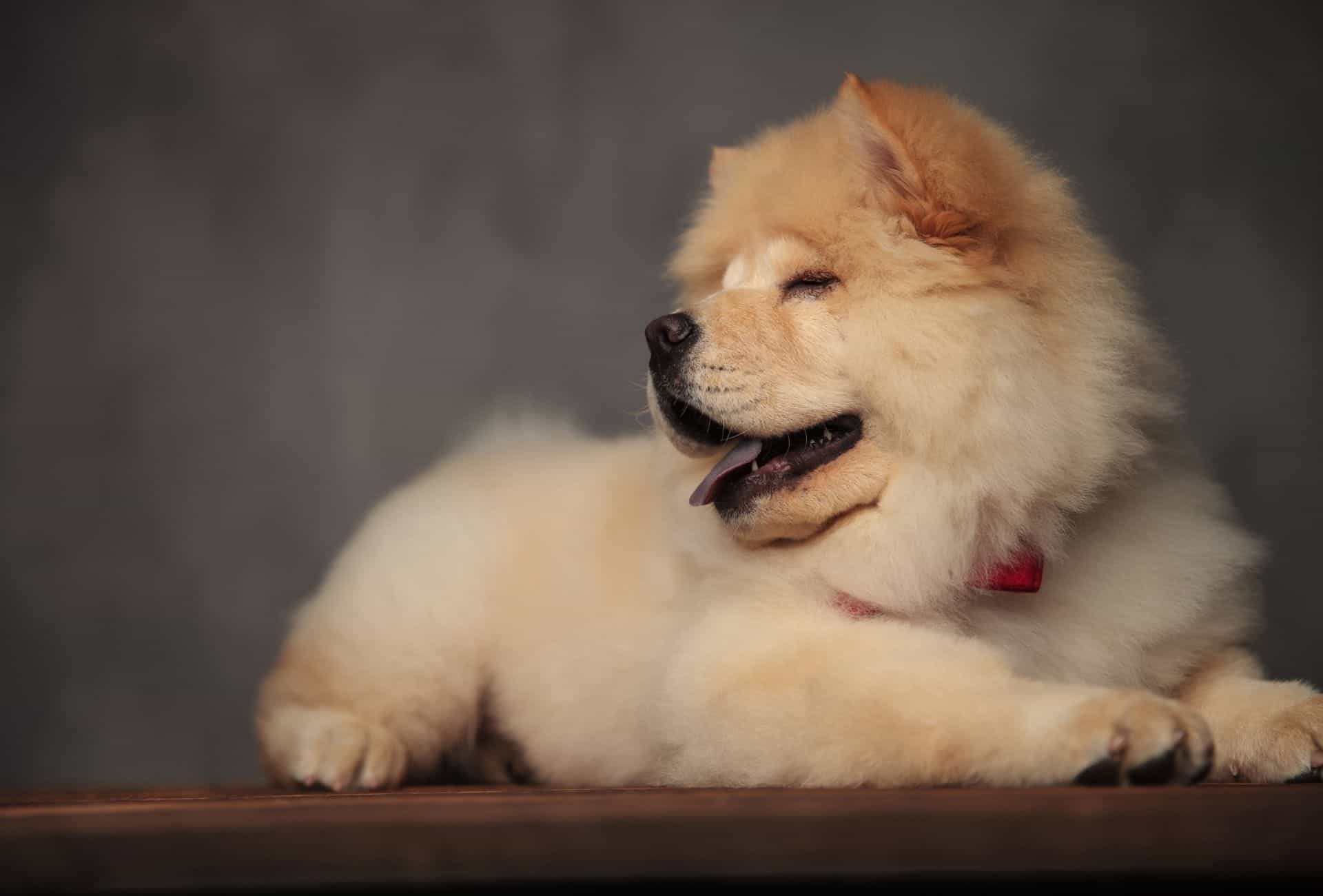 Chow Chow puppy with eyes closed.