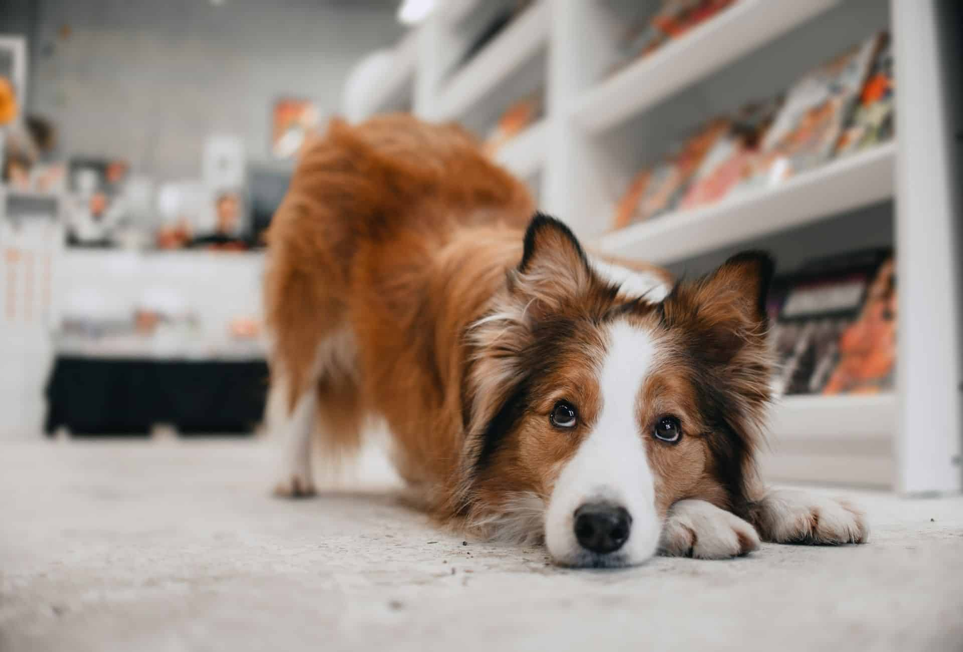 Dog is allowed inside US store and bows down with his head resting on the paws.