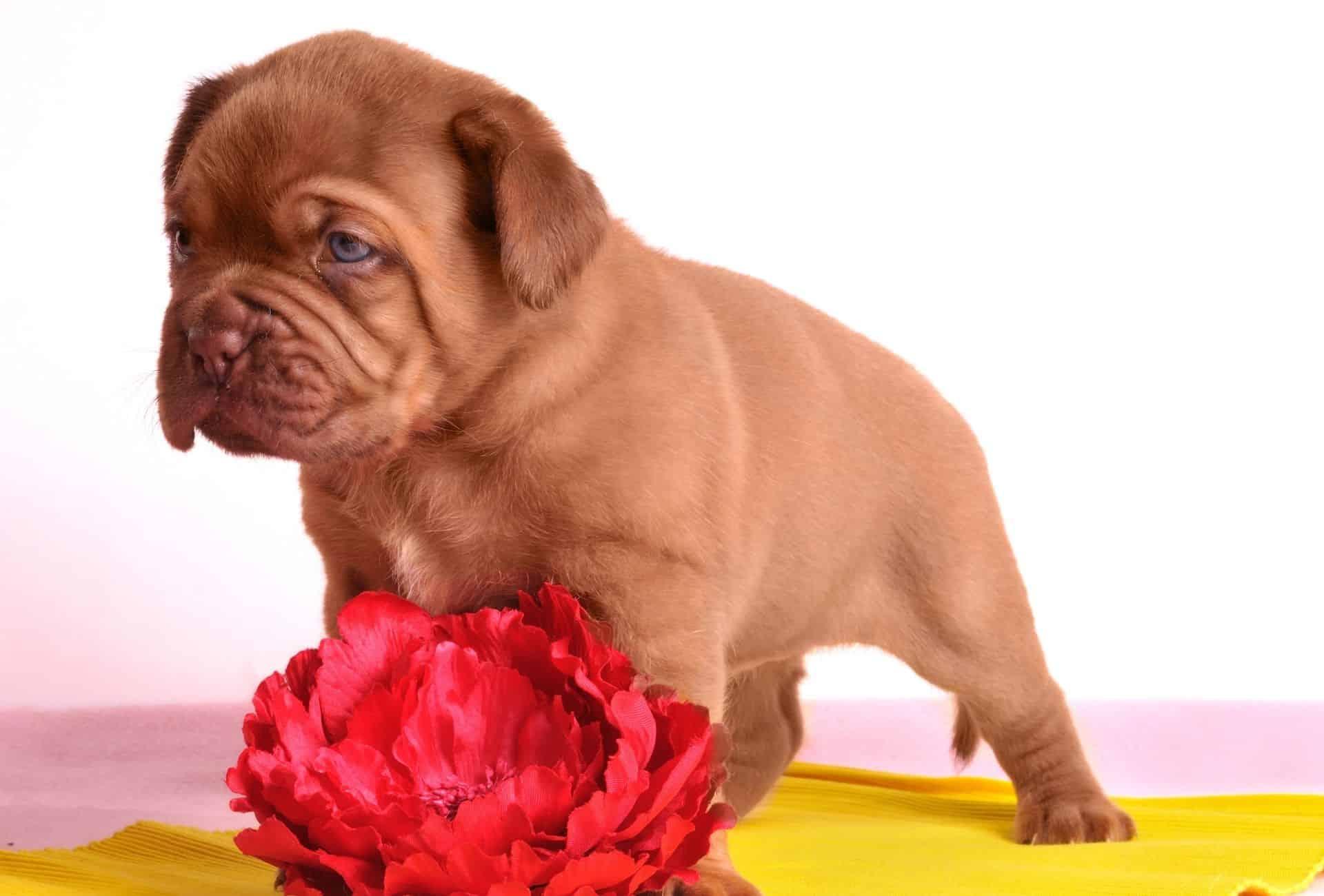 Cute Dogue de Bordeaux puppy on a yellow blanket.