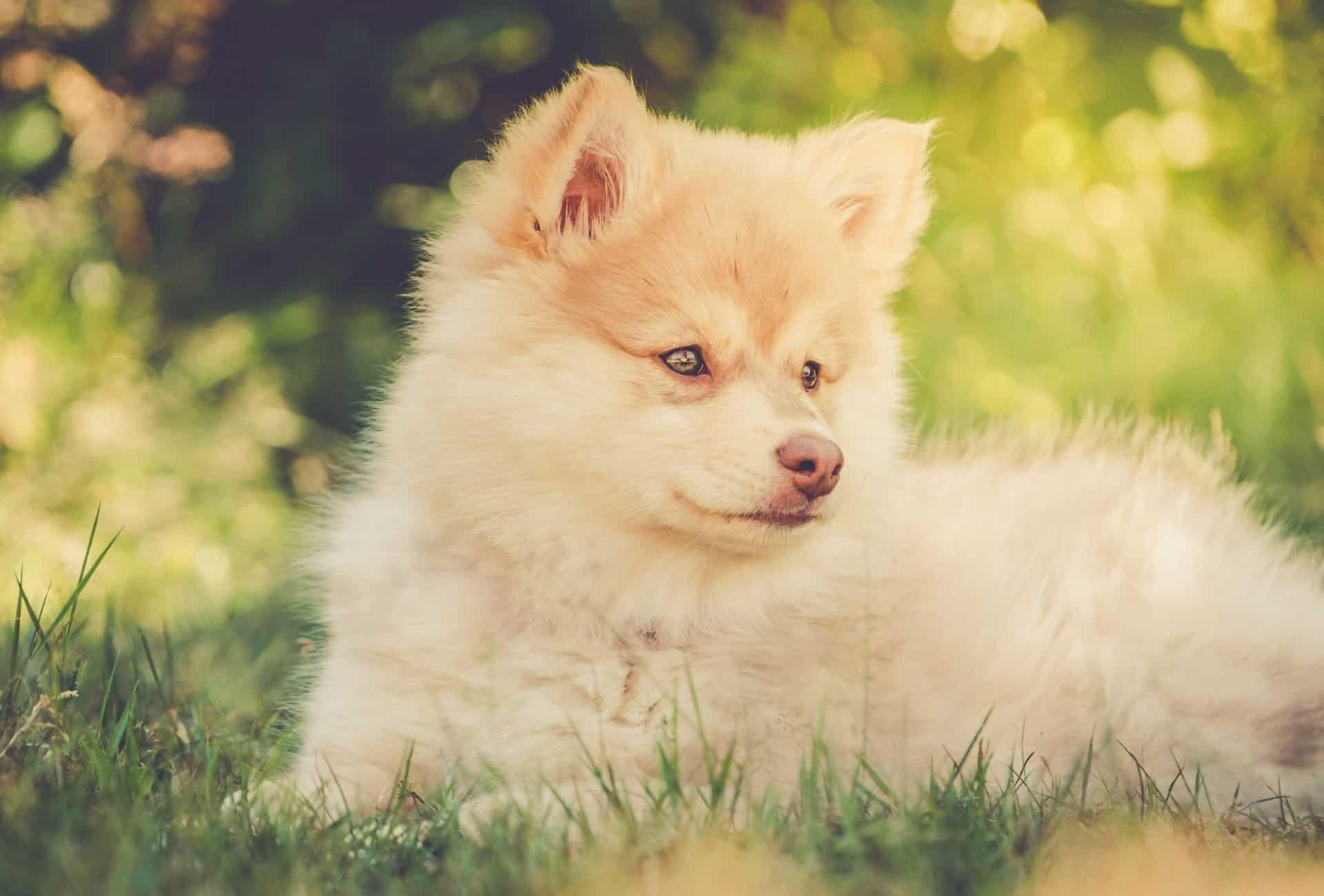 Rare Finnish Lapphund puppy.