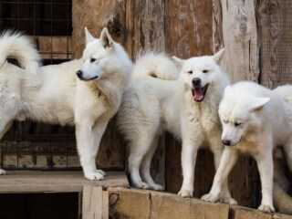 Three large white fluffy dogs with curly tails.