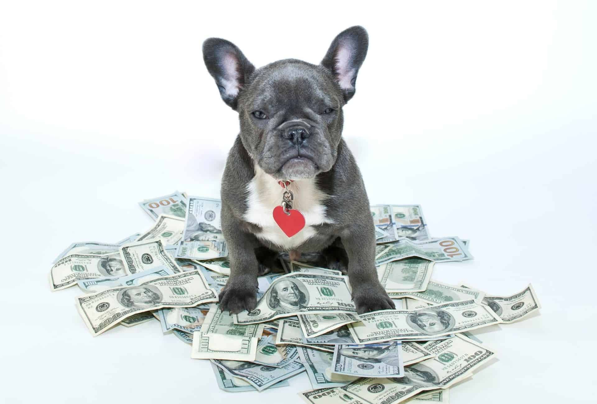 French Bulldog sits on a pile of money, signalling that breeders definitely can make money with breeding.