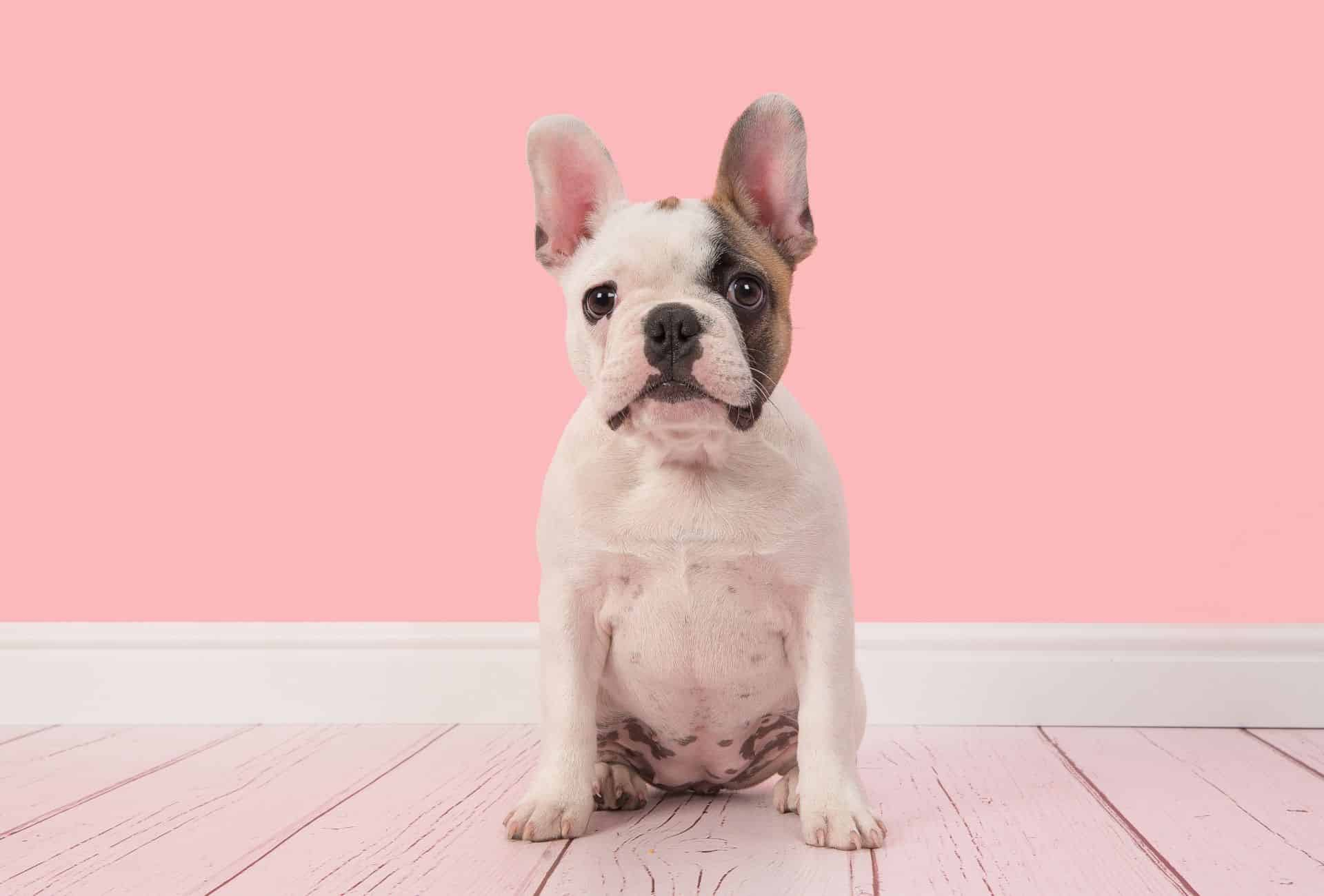 White French Bulldog puppy with black nose and brown on the left face side sits in front of pink background.