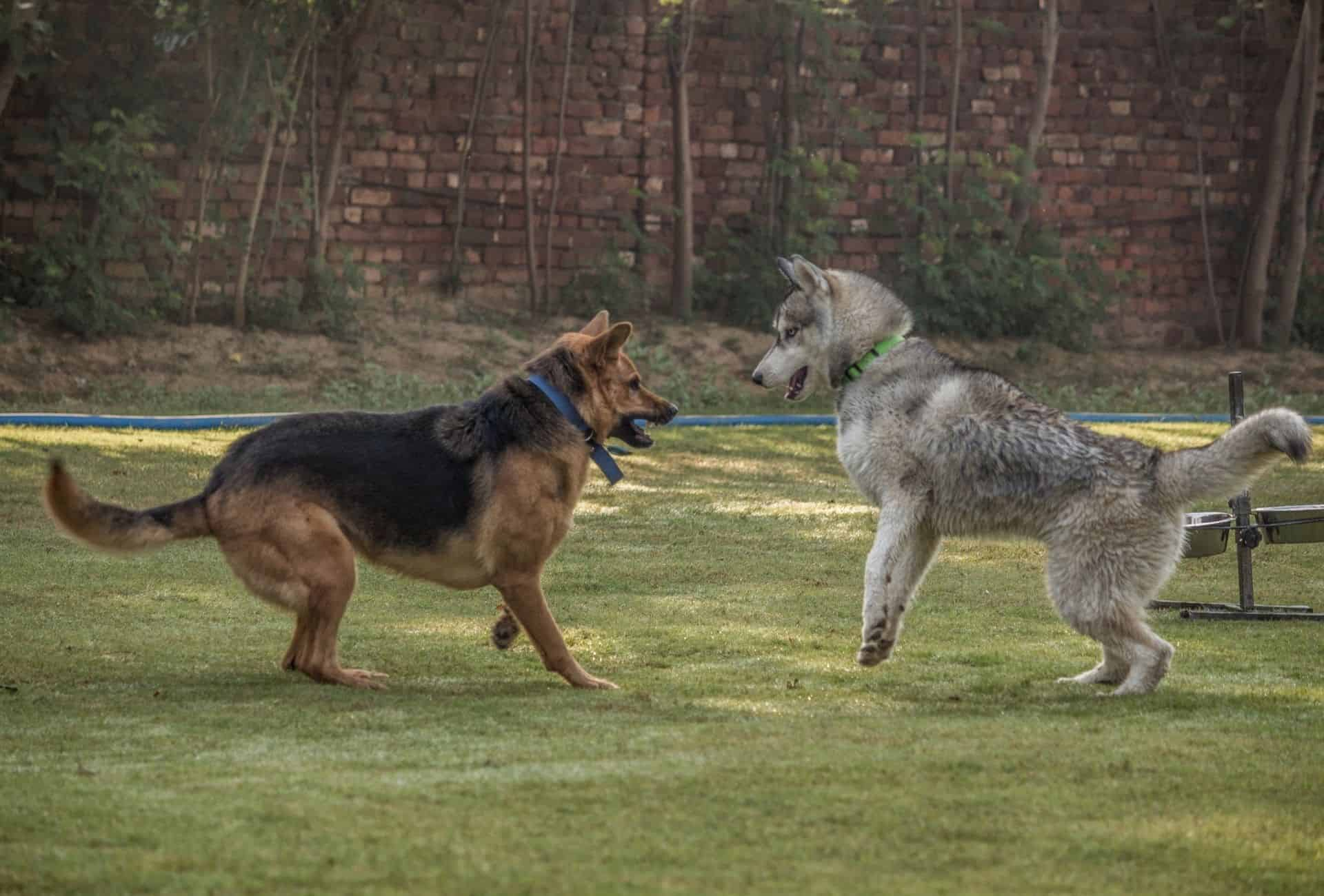 While rough play can make dogs more aggressive, normal play between dog is often interpreted as aggression.