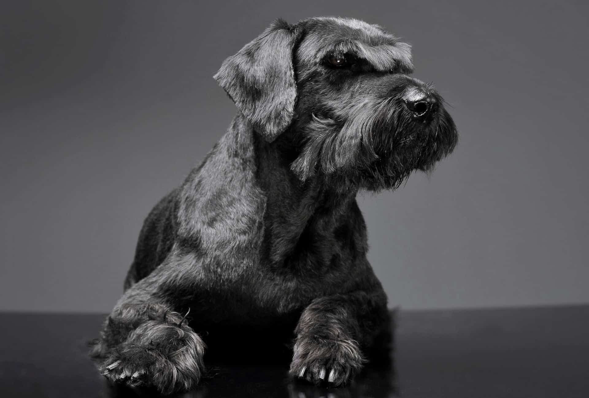 Giant Schnauzer with long fur around the snout and paws.