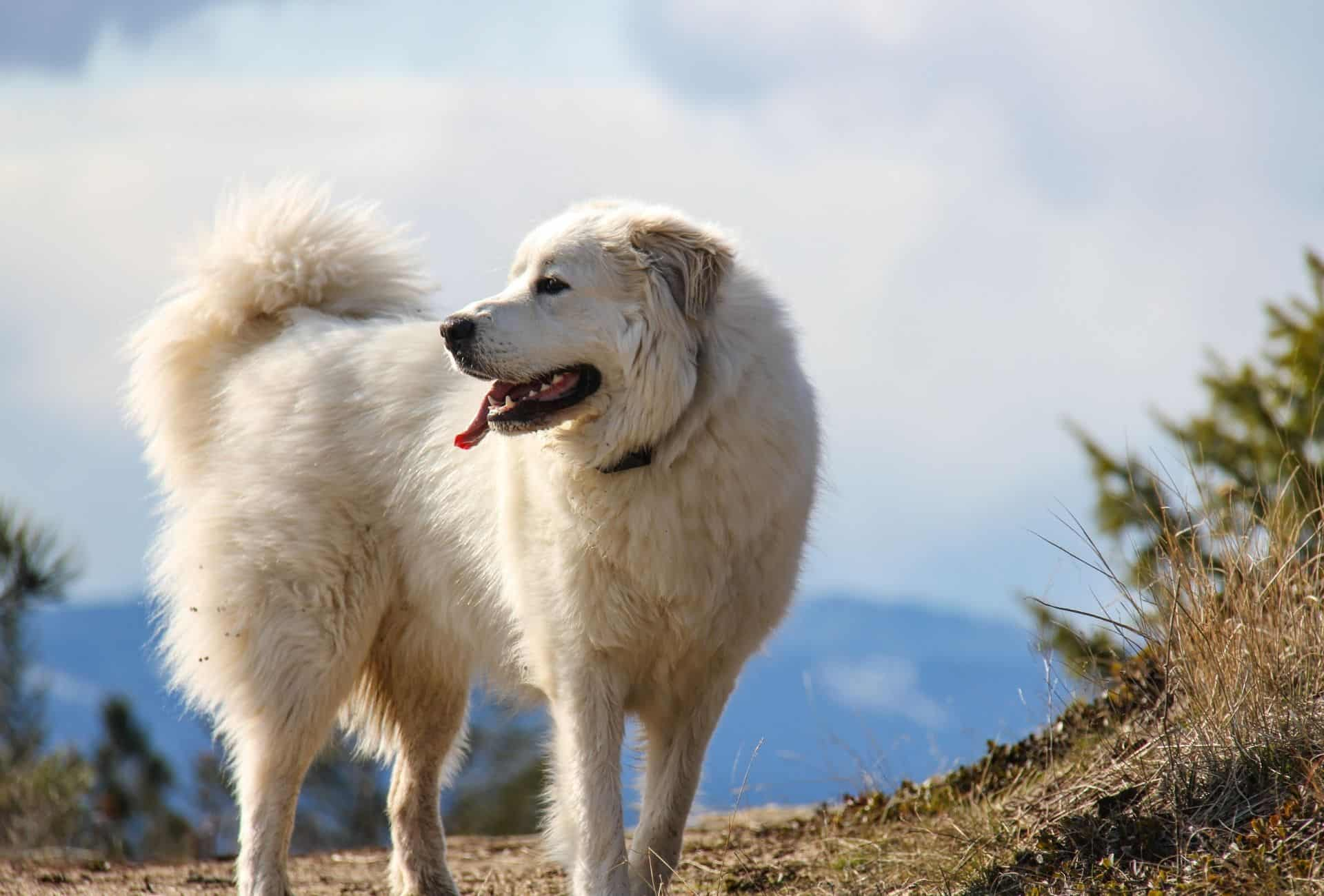 Great Pyrenees standing on a mountain with his furry white coat.