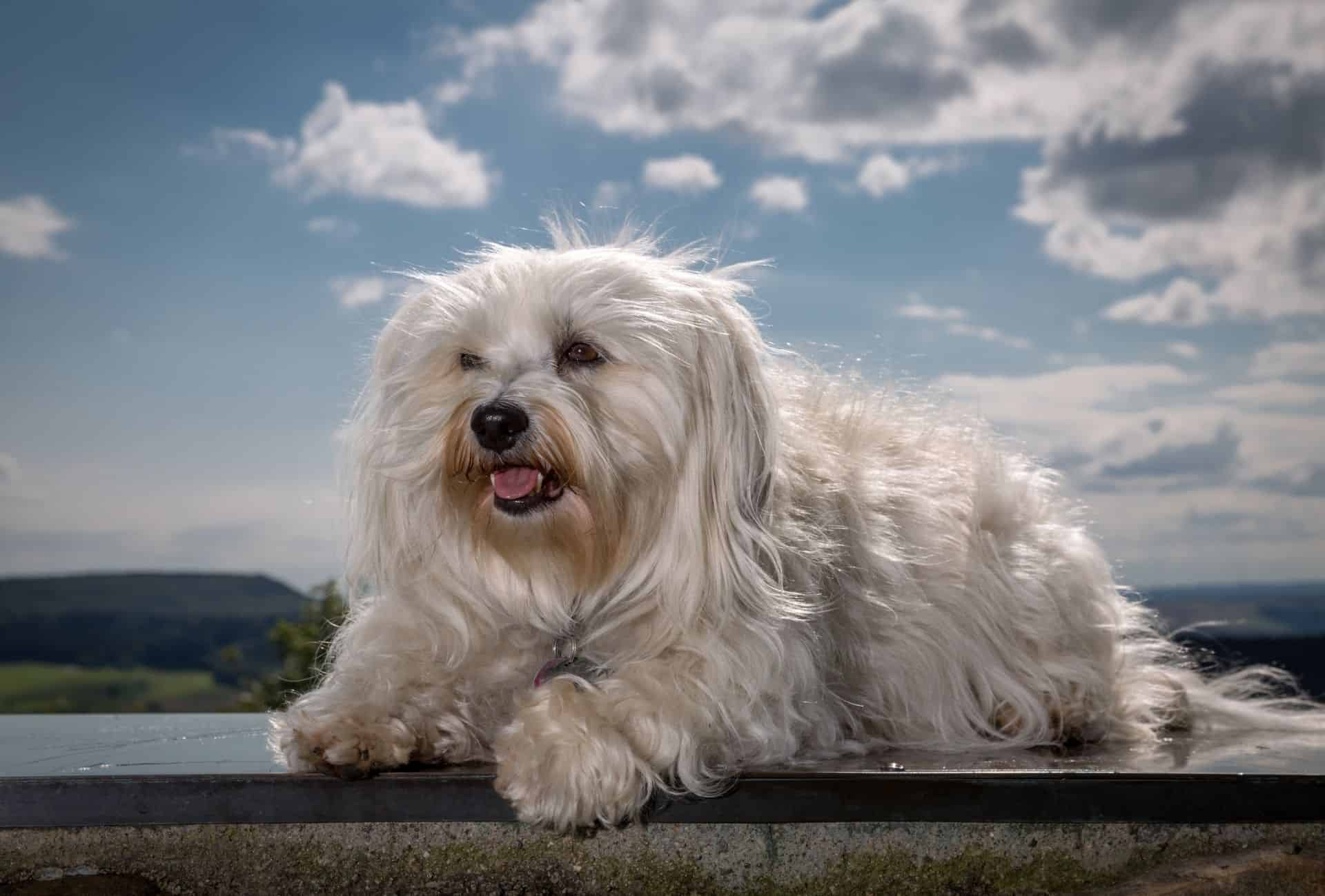 Furry Havanese on a clear sunny day.