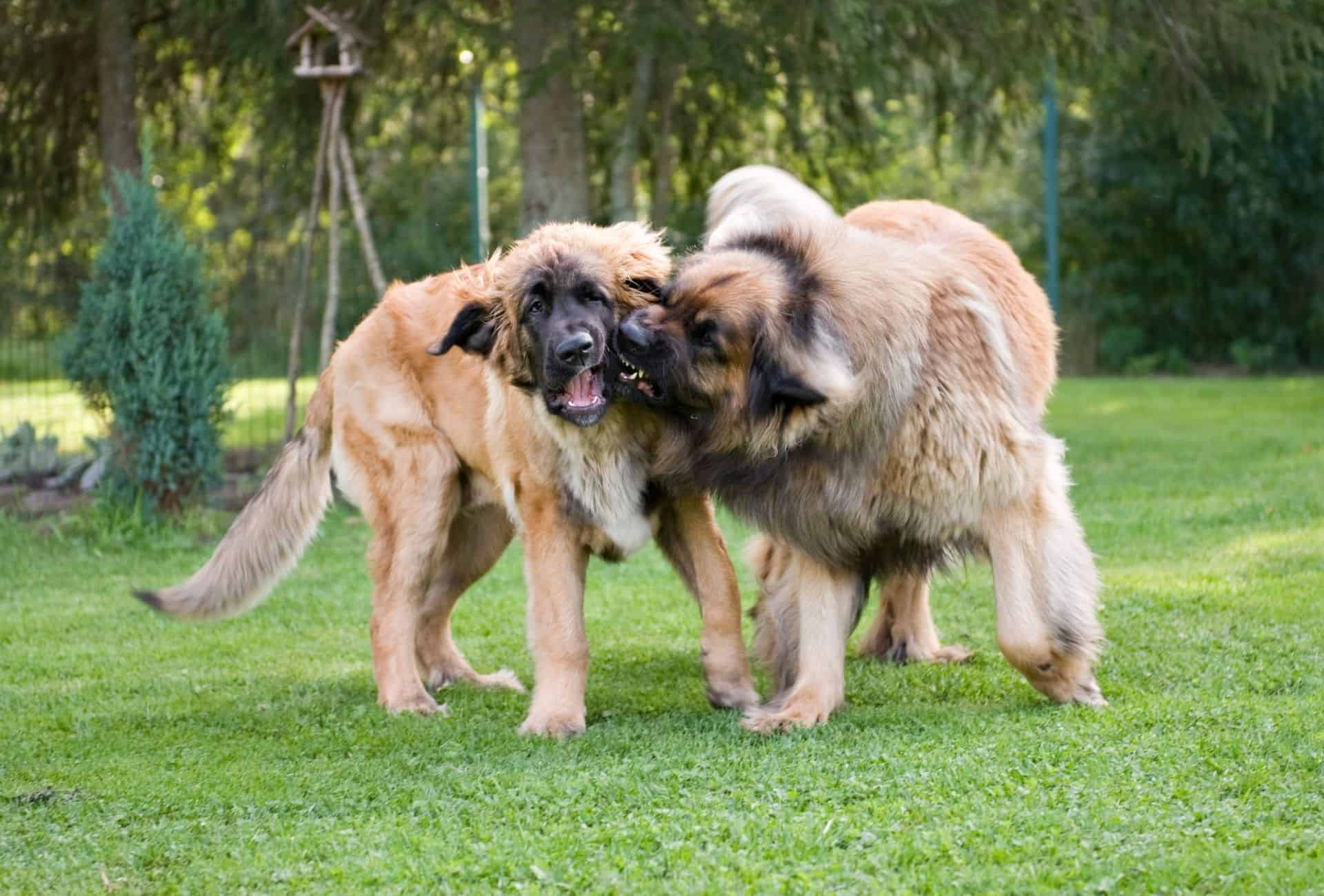 Two Leonbergers playing with each other.