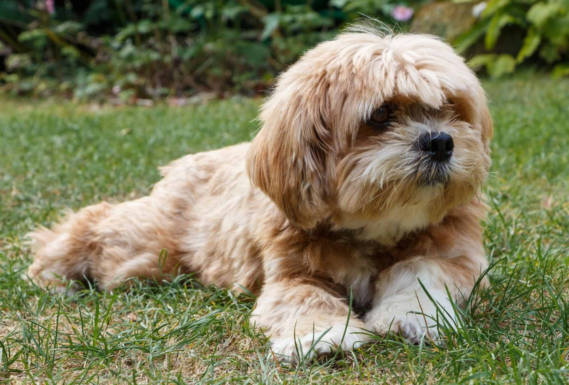 Lhasa Apso with long fur laying on the ground.