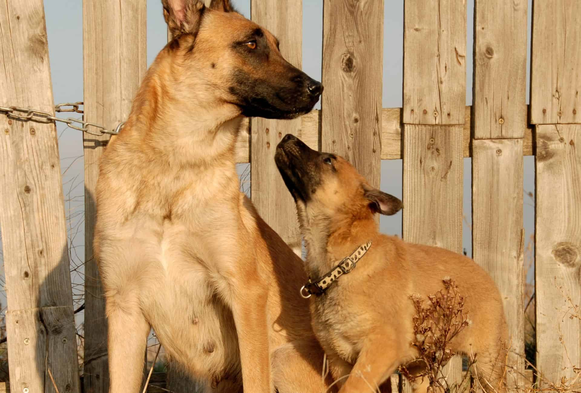 Malinois puppy reaches for his mother's snout.