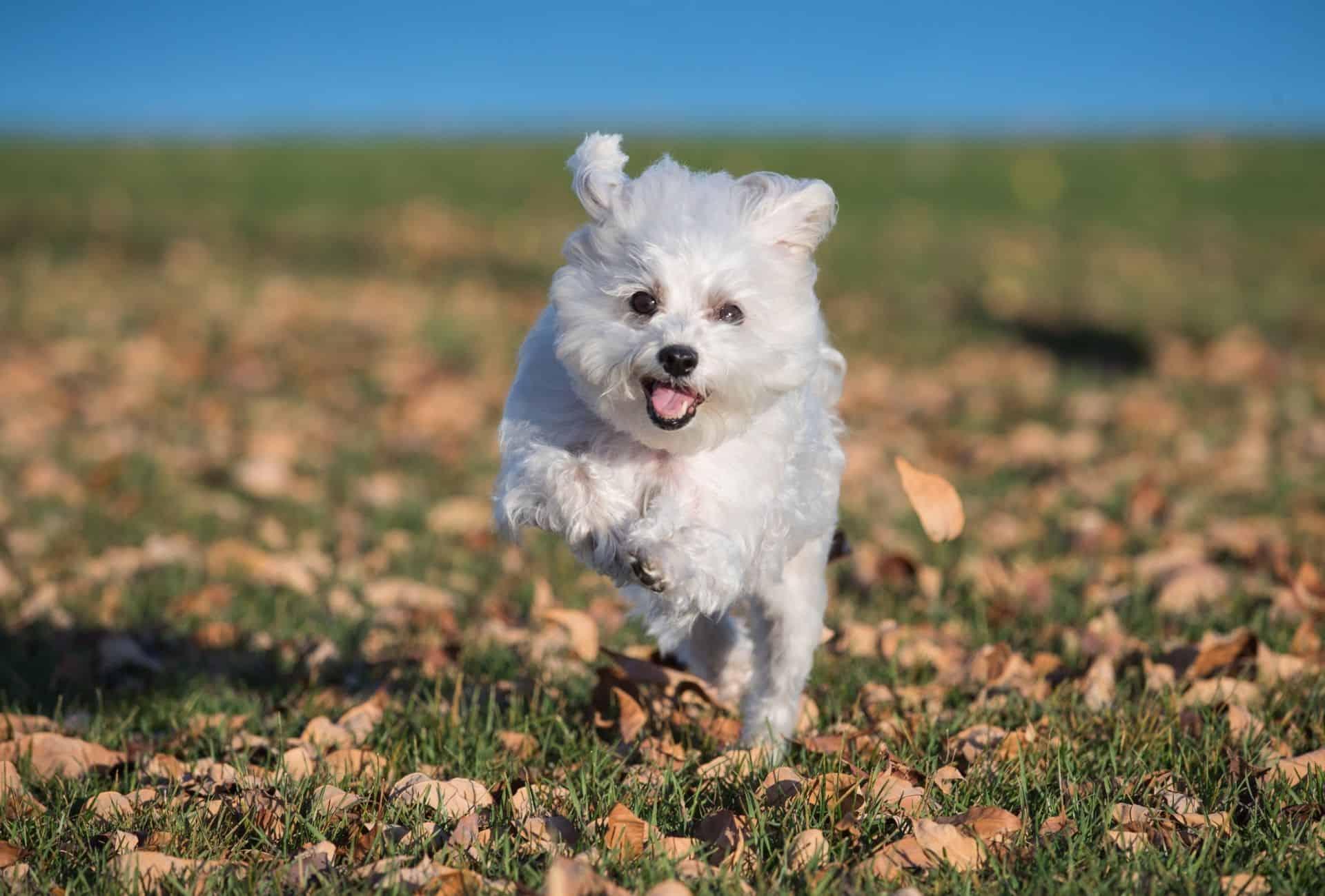 Maltese running towards the camera.