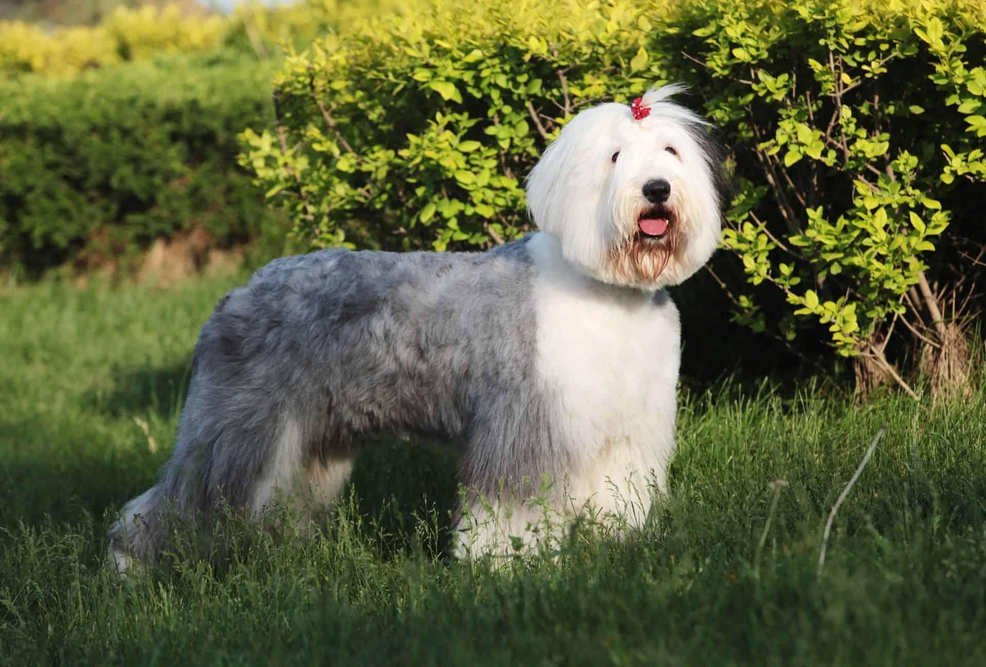 Old English Sheepdog with a cute haircut.