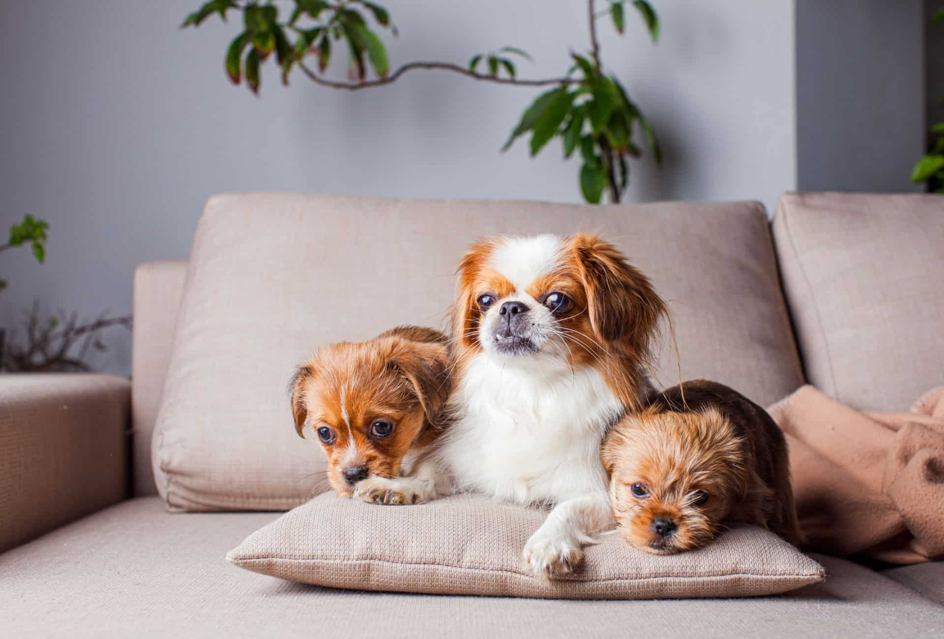 Pekingese lays on the couch alongside two other dogs.