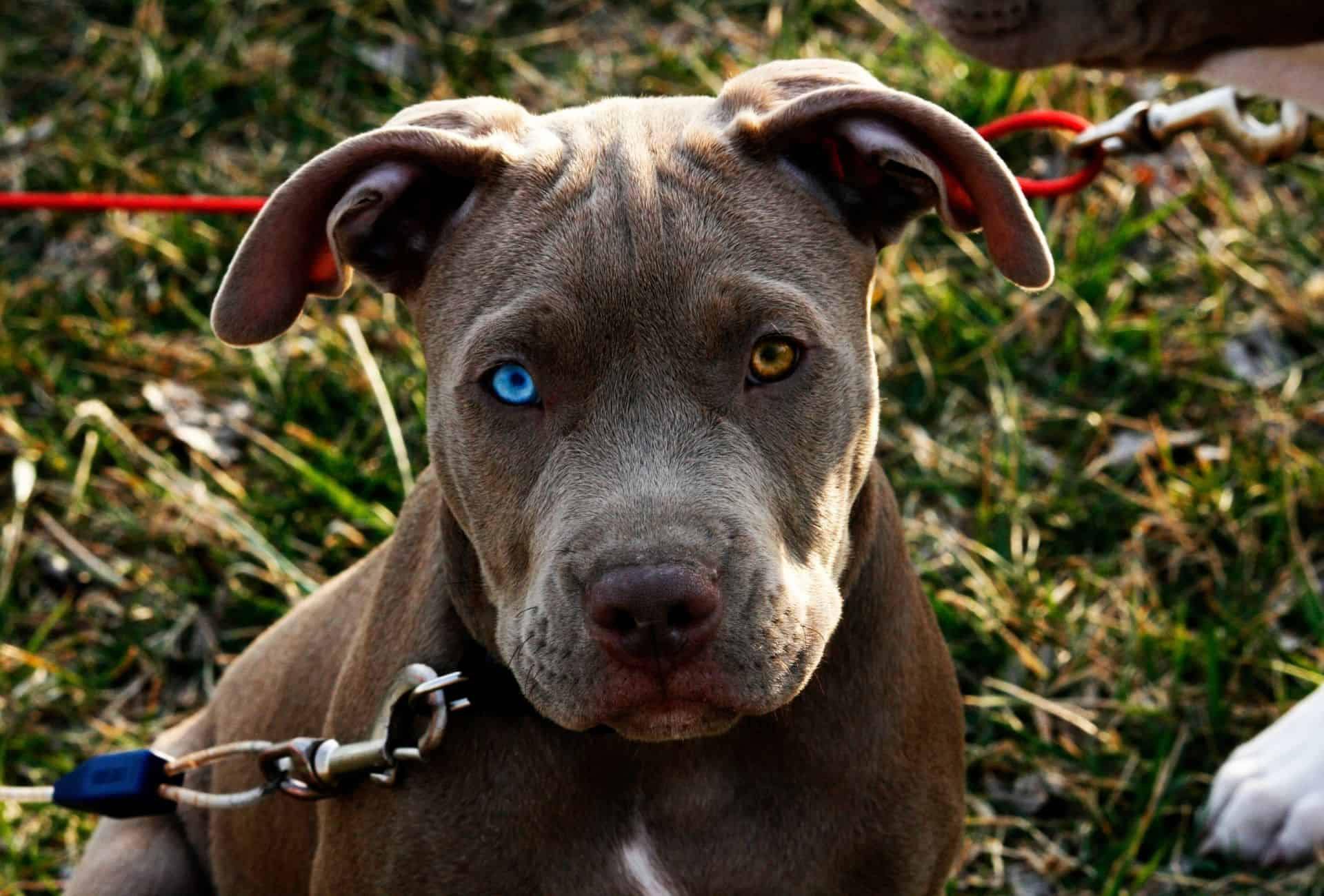Pitbull with a crystal clear blue eye and a brown eye.