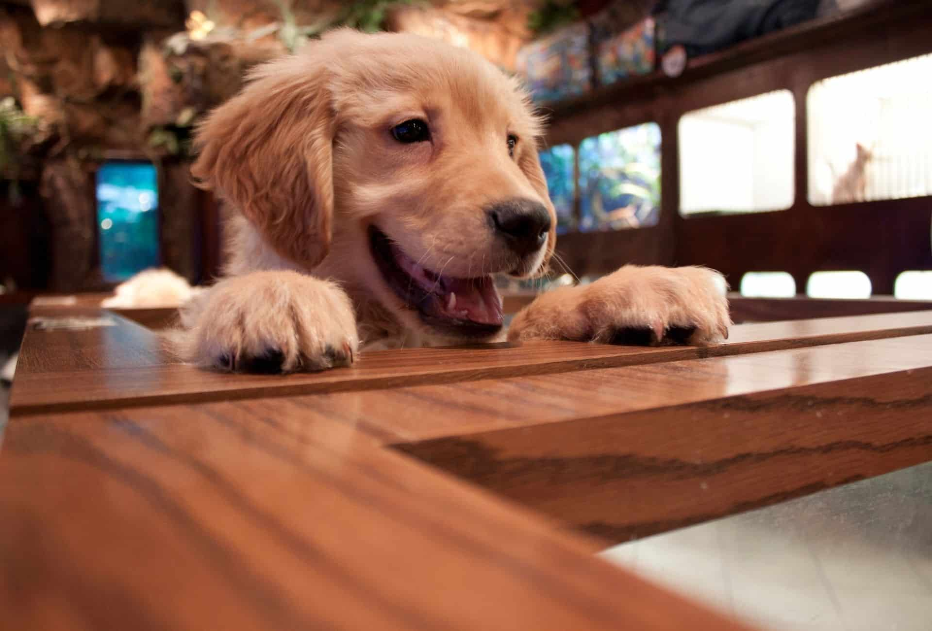 A cute puppy is leaning with his paws on the countertop inside a store or restaurant.