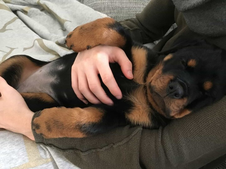 Rottweiler peacefully sleeping in children's lap showing this breed can be the ideal choice for families with children.