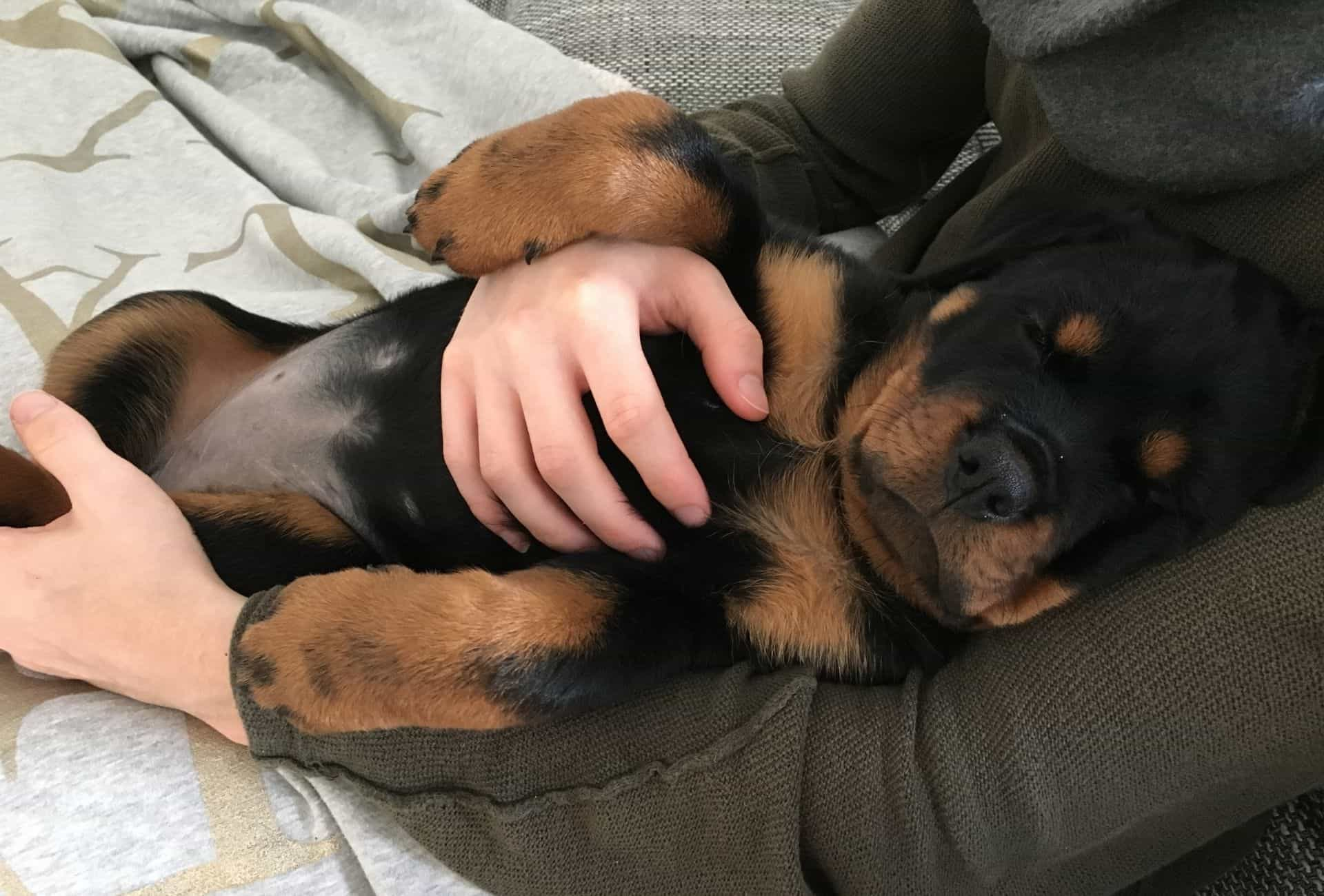 My Rottweiler puppy is sleeping and often whimpering which is pretty common for pups when dreaming.