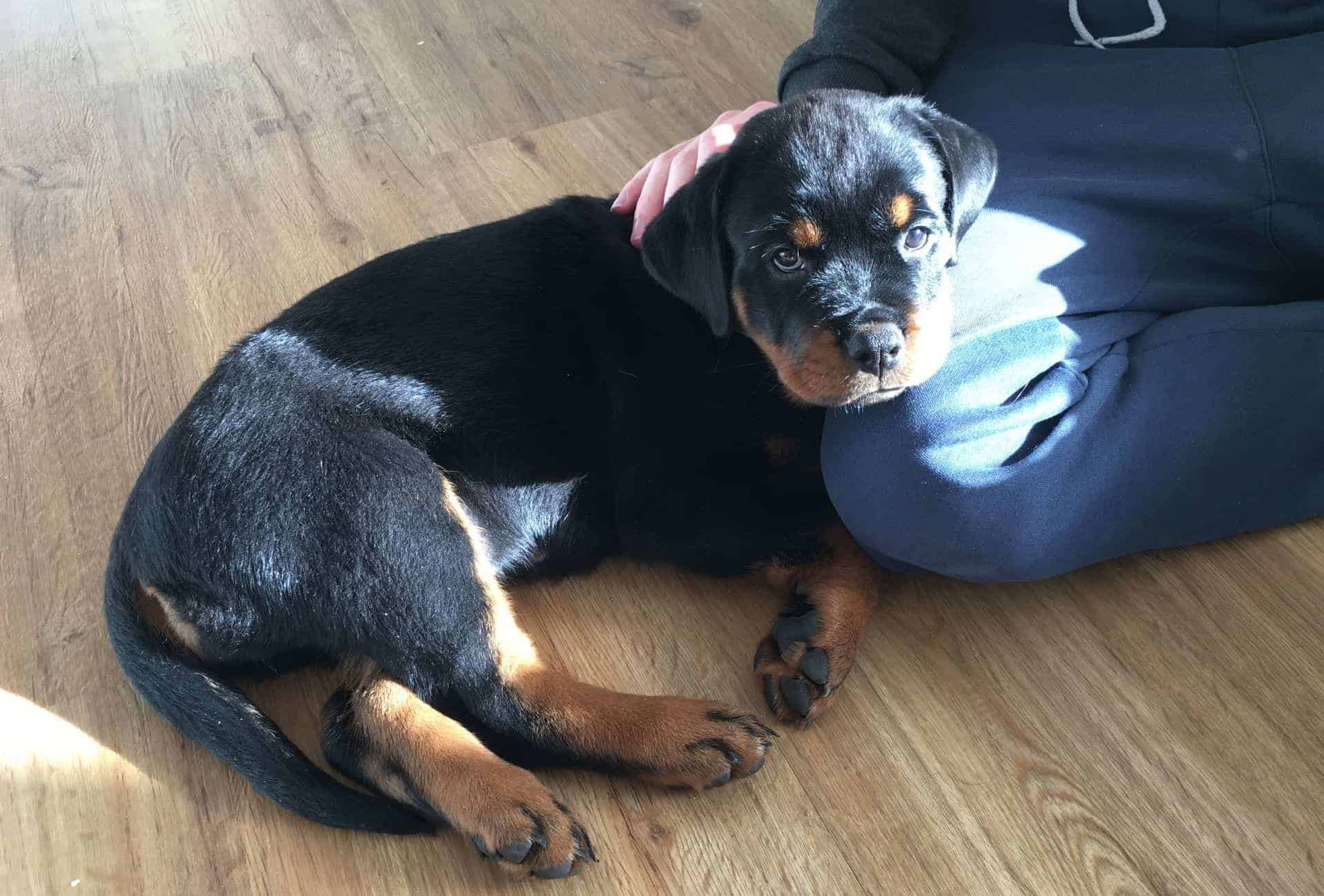 Rottweiler puppy at 8 weeks of age.